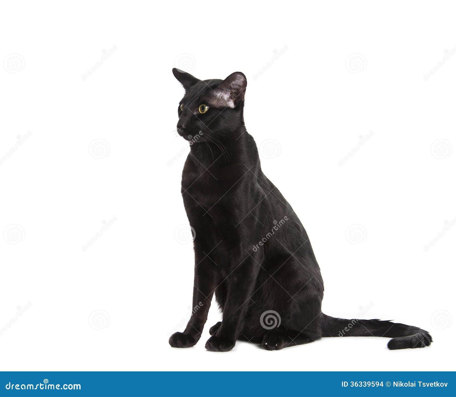 Orientalny Czarny Kot Odizolowywający Nad Białym Tłem Zdjęcie Stock