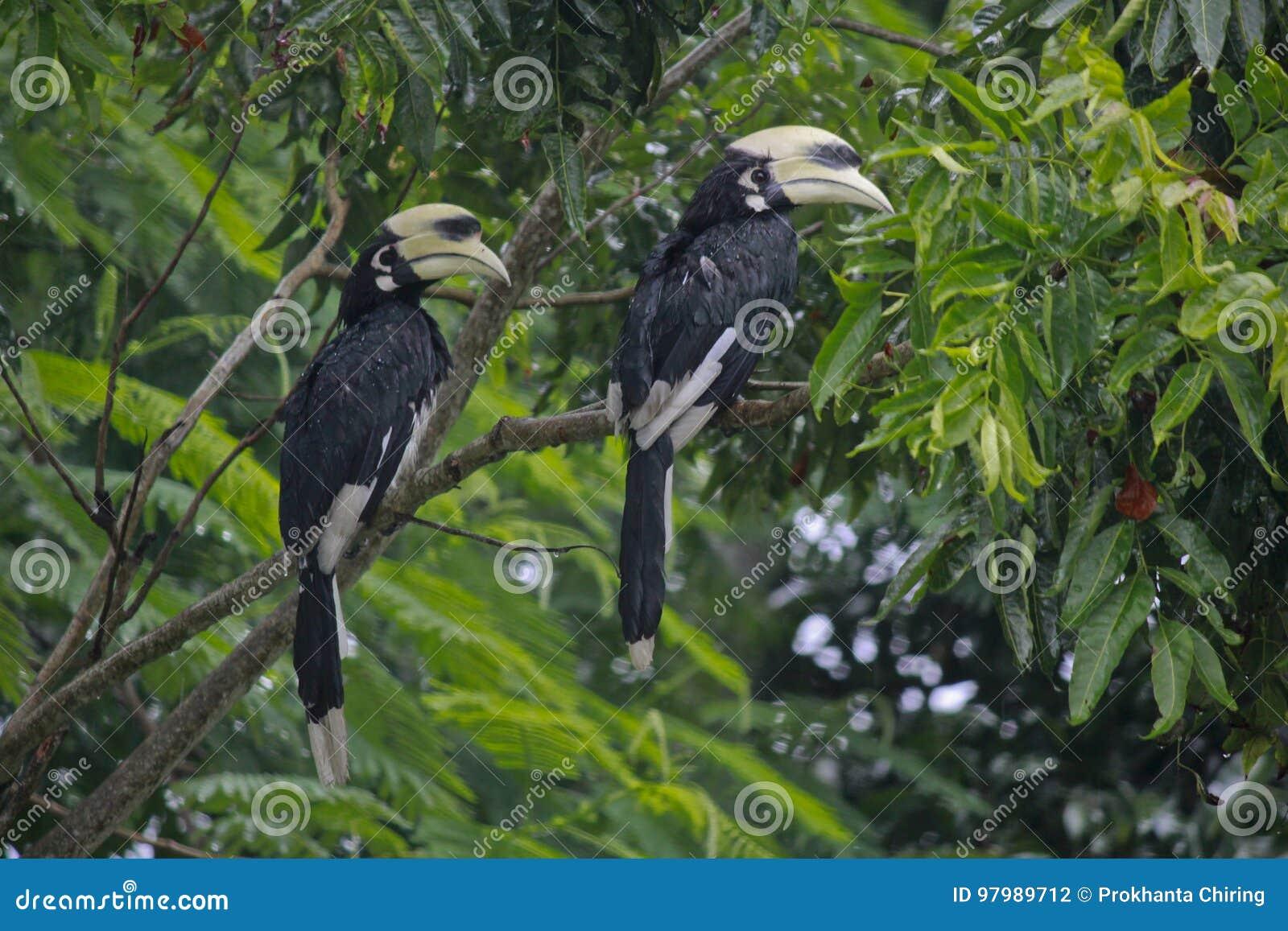 Oriented pied hornbill