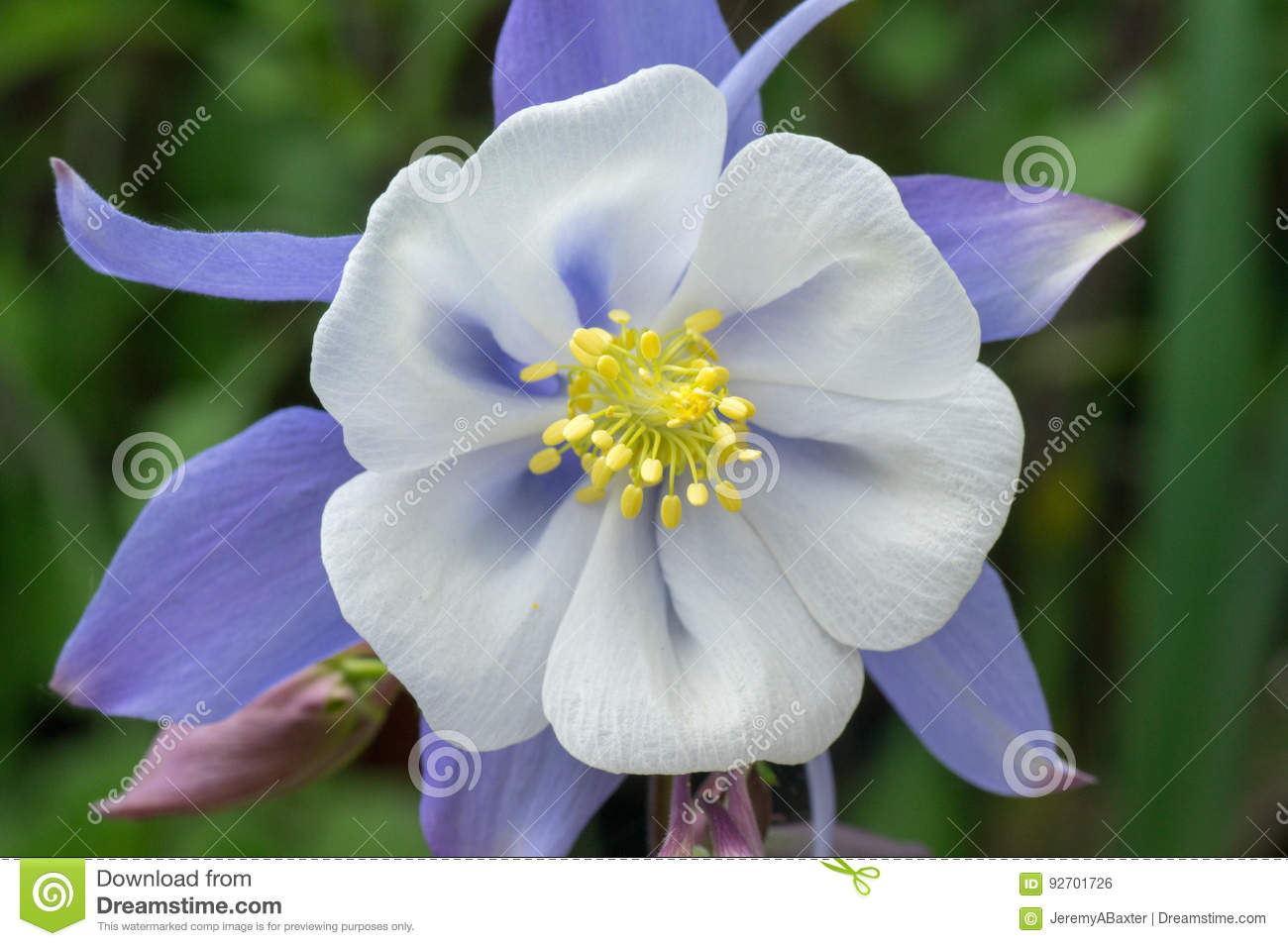 Origami Blue And White Columbine Flower Stock Photo Image Of