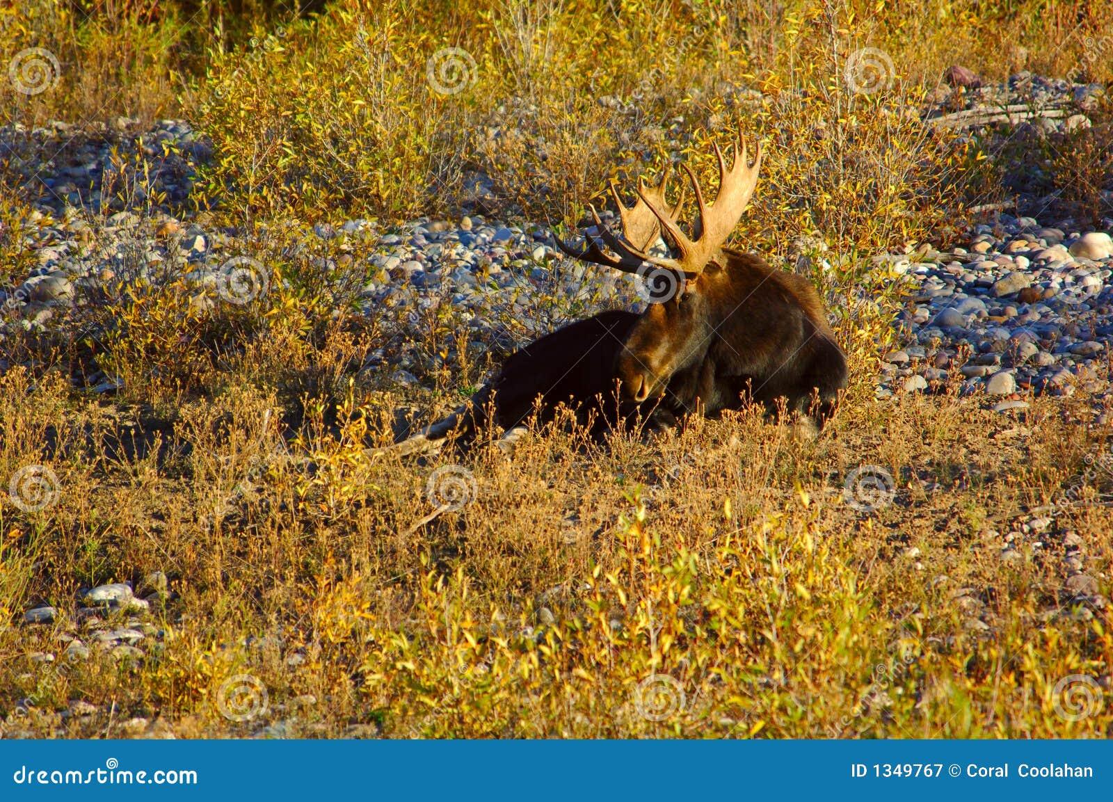 Orignaux de Bull dans le bâti de fleuve