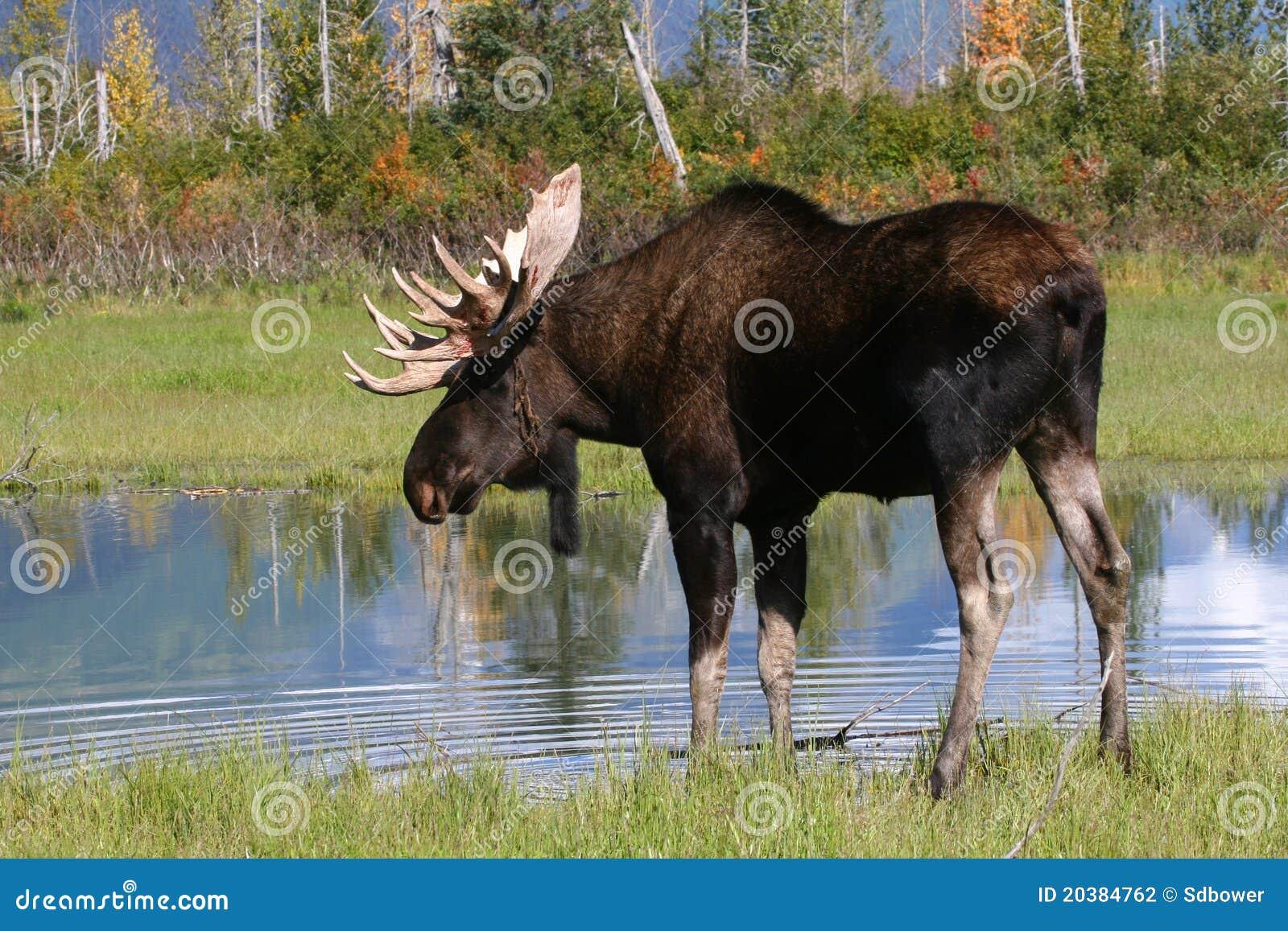 Orignaux de Bull par l étang en Alaska