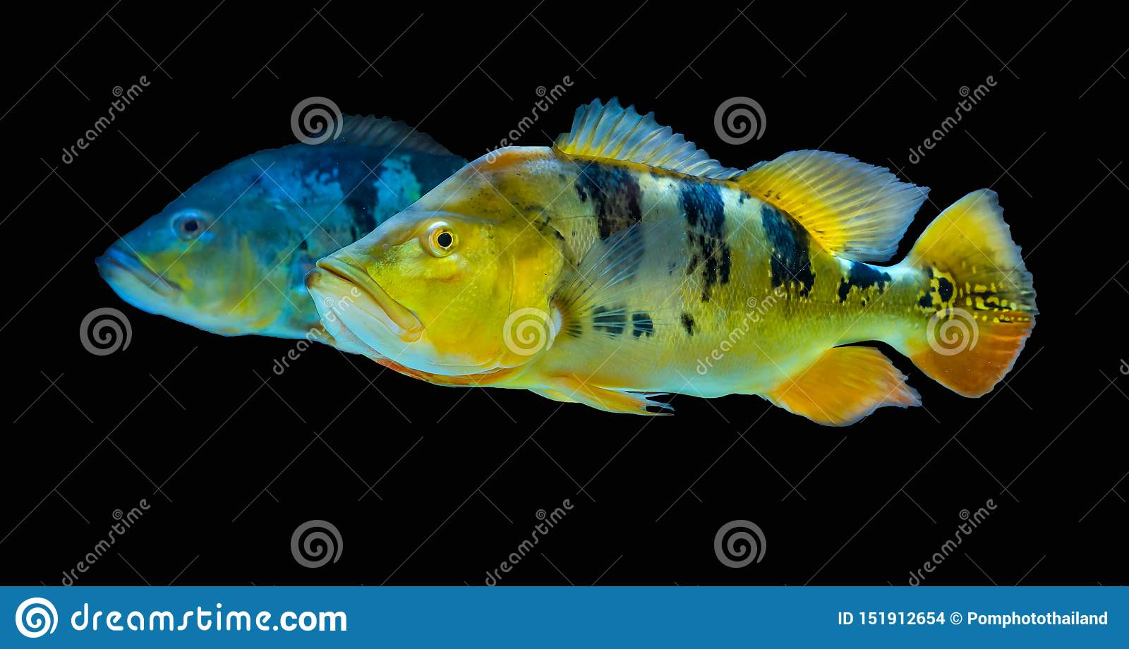 2RARE EXOTIC BUTTERFLY PEACOCK BASS (Cichla Ocellari ... |Peacock Bass Aquarium