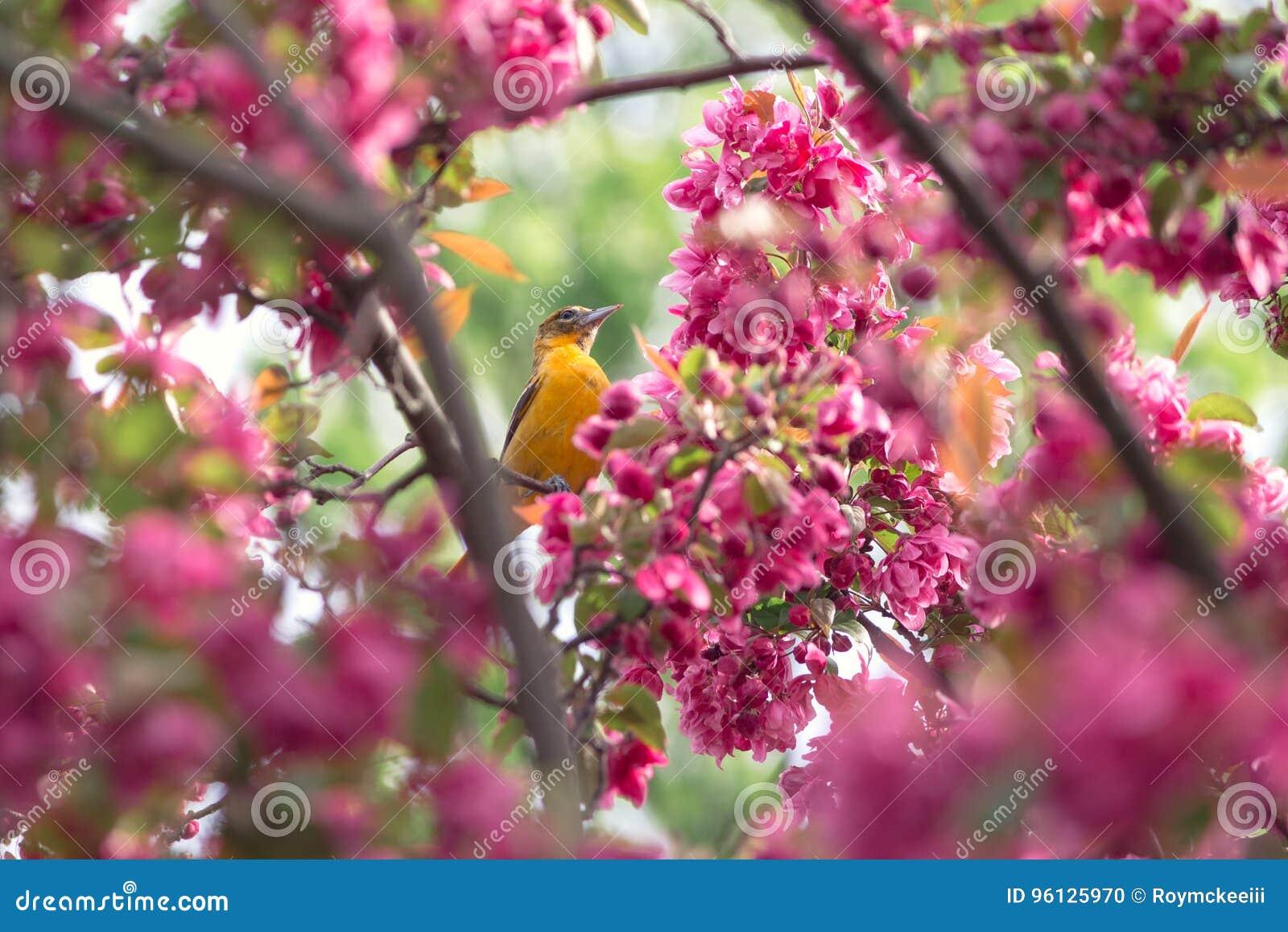 Oriole και ρόδινα άνθη