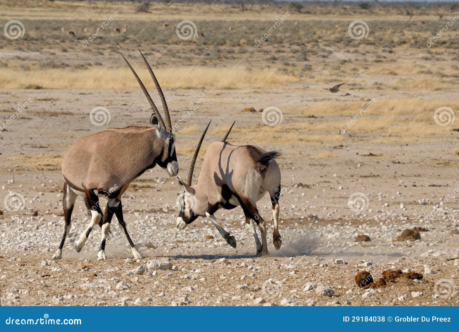 Orix (Gemsbok) Fighting Royalty Free Stock Photos - Image ...