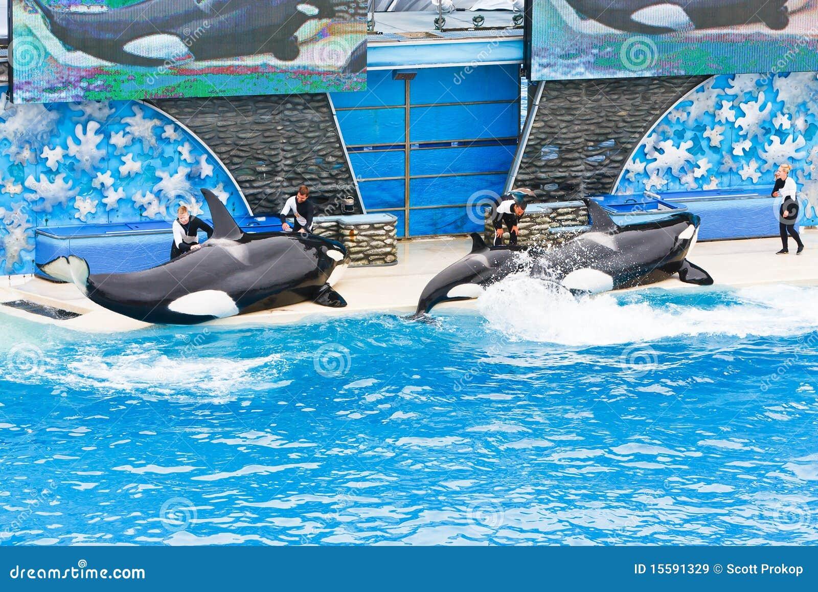 Orka s in SeaWorld
