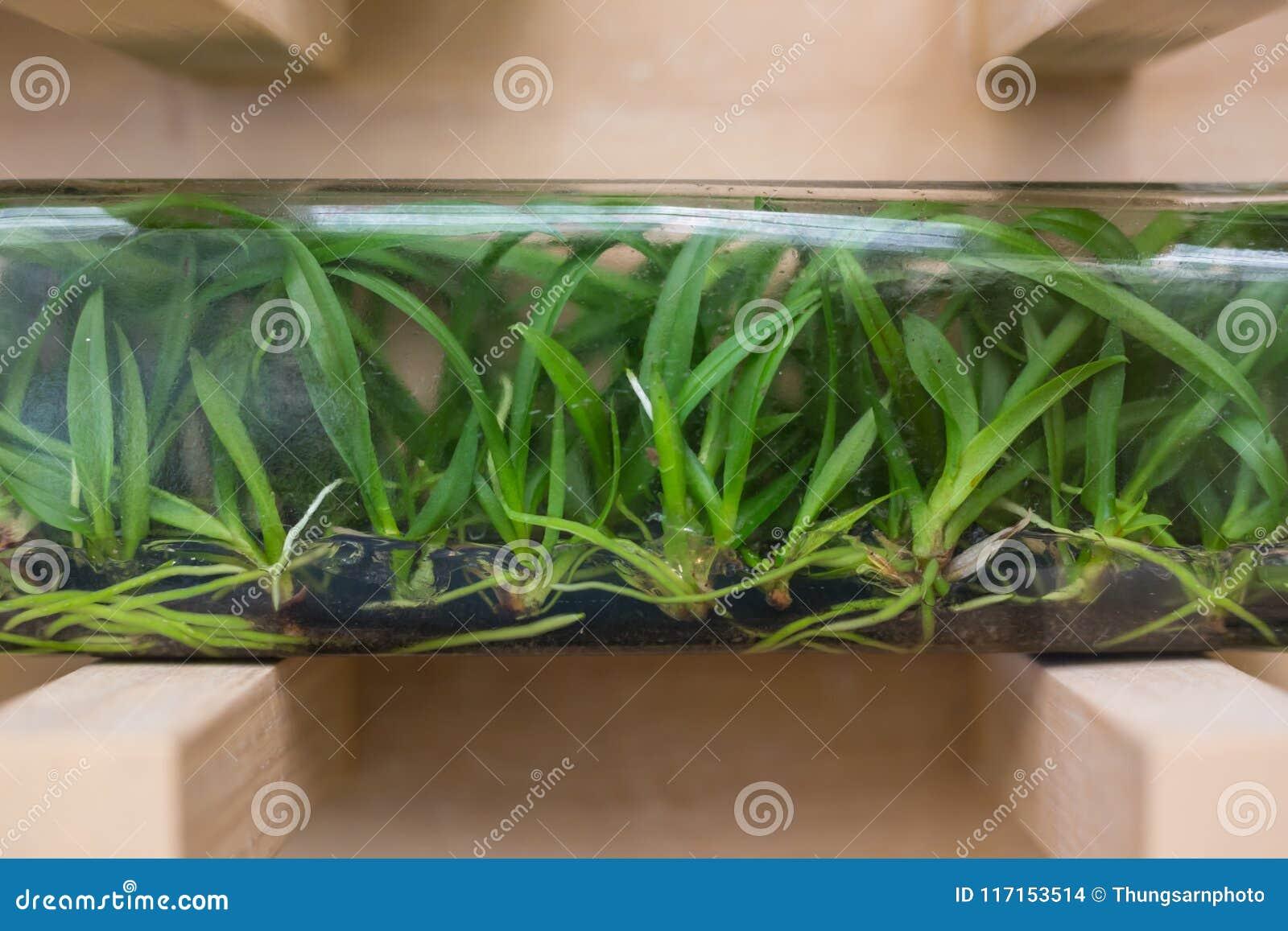 Orkidé som påbörjas från silkespapperkultur