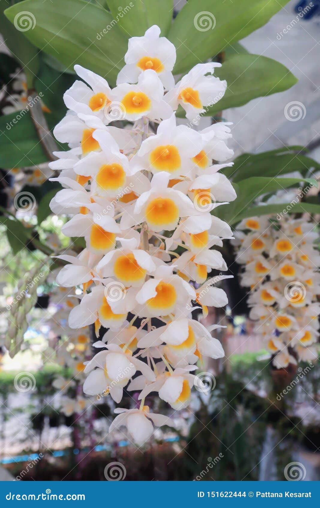 Orkidén blommar