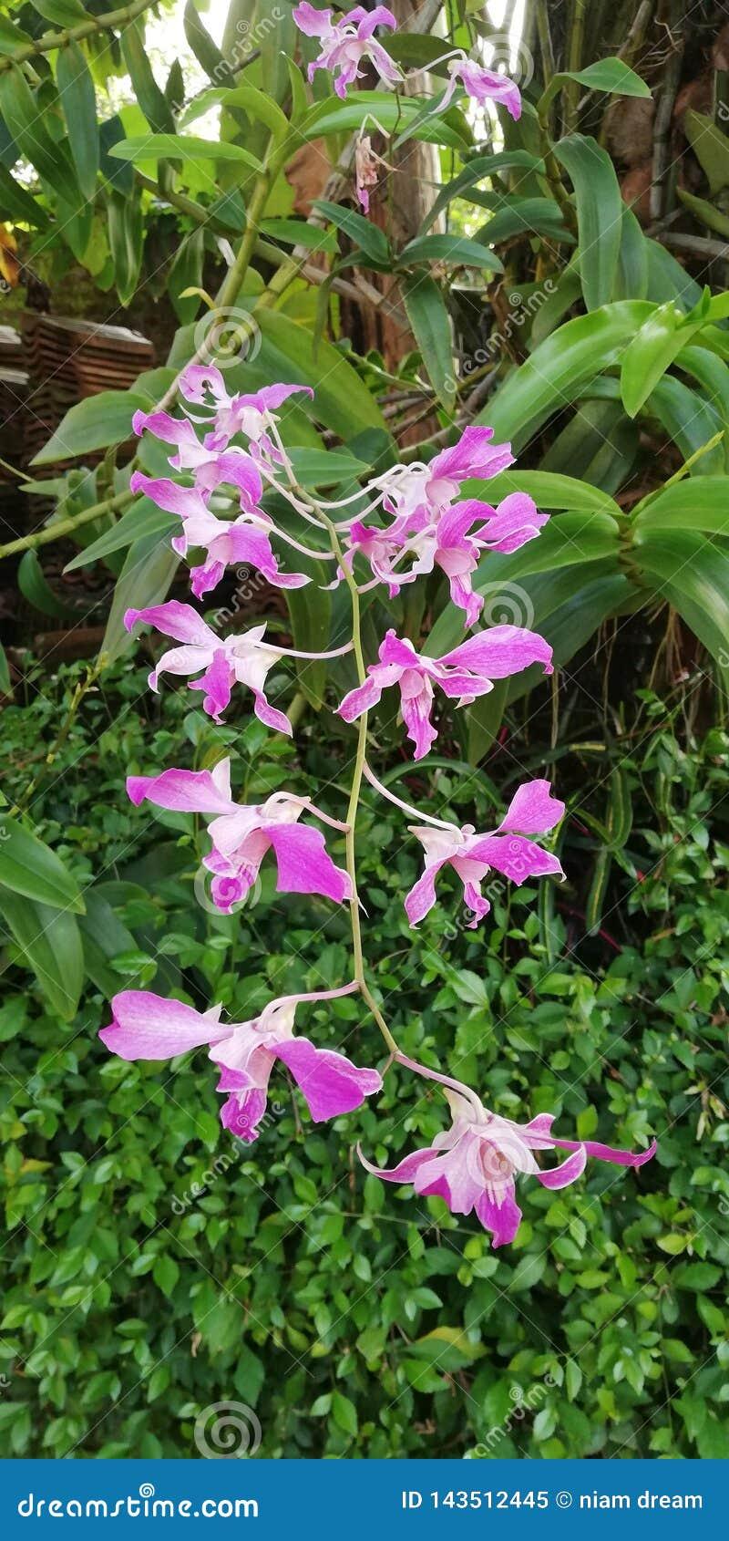 Orkidén Superbien är härlig och att charma
