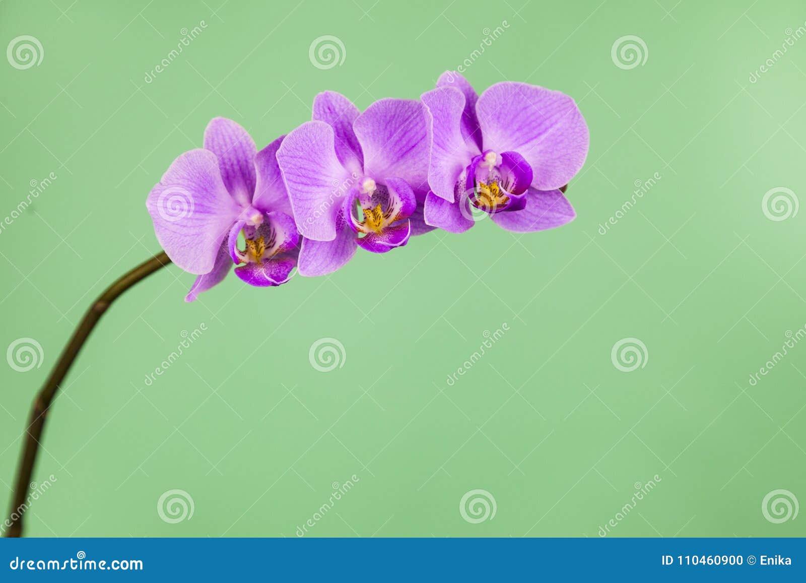 OrkidéPhalaenopsis på en grön bakgrund