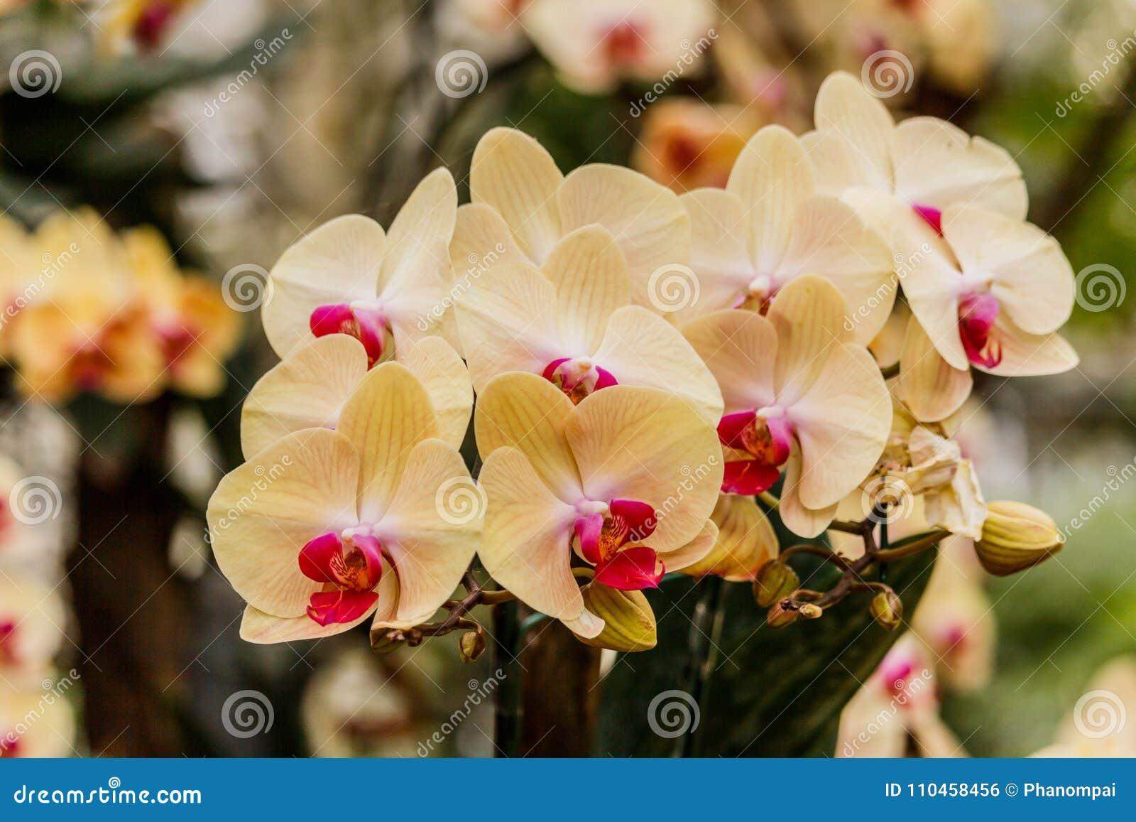 Orkidéskönhet som blommar i trädgården på våren Tid