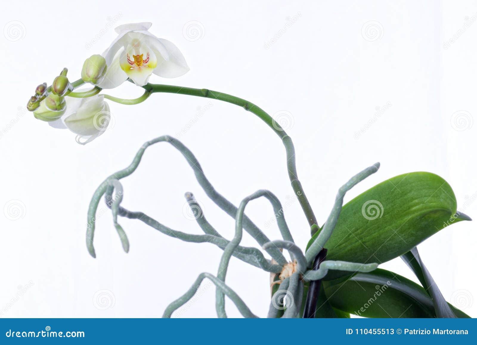 Orkidéväxten och erial rotar på en vit bakgrund