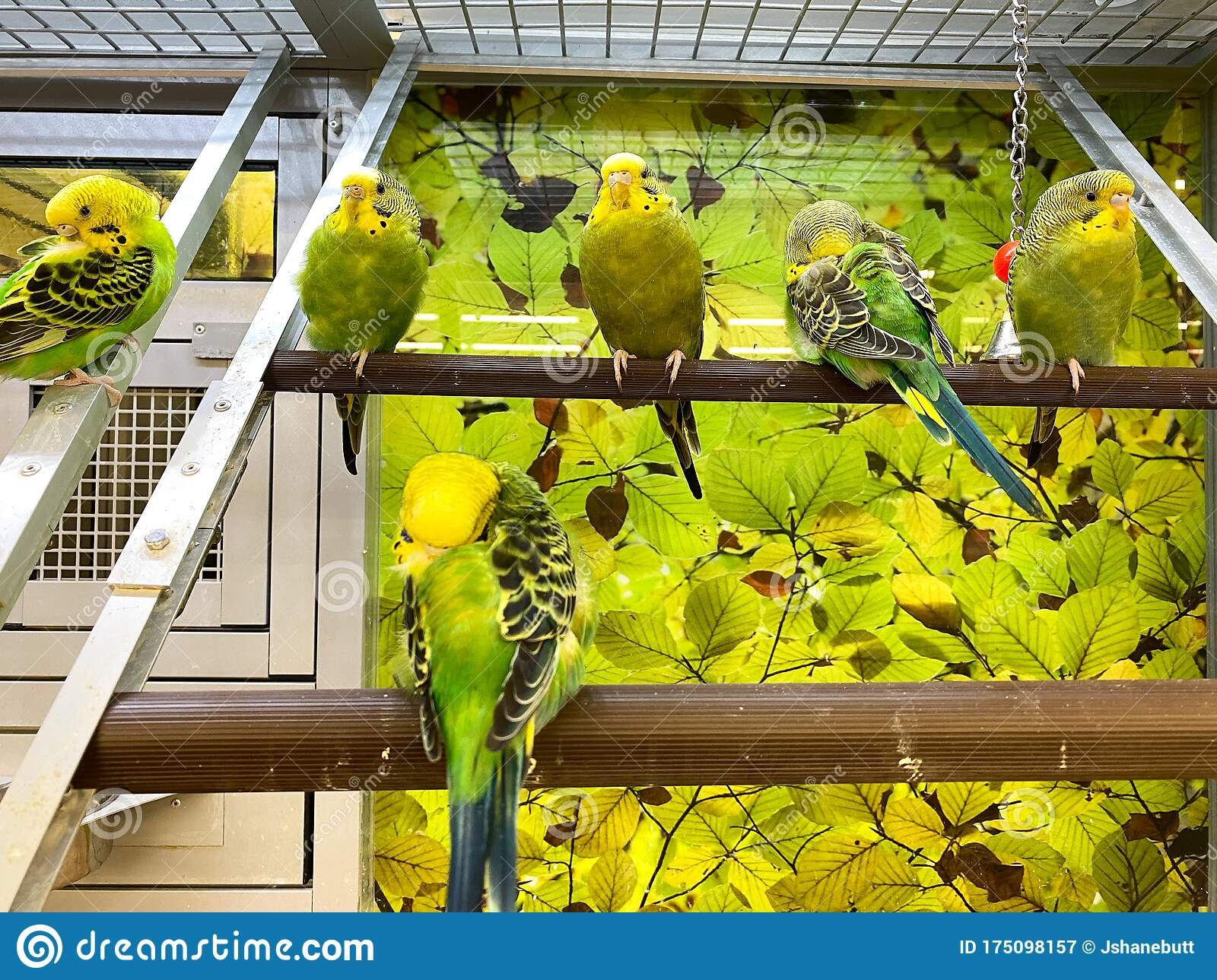 A Flock Green And Yellow Parakeets In An Aquarium For Sale At A Petsmart Pet Superstore Editorial Photography Image Of Furry Furniture 175098157
