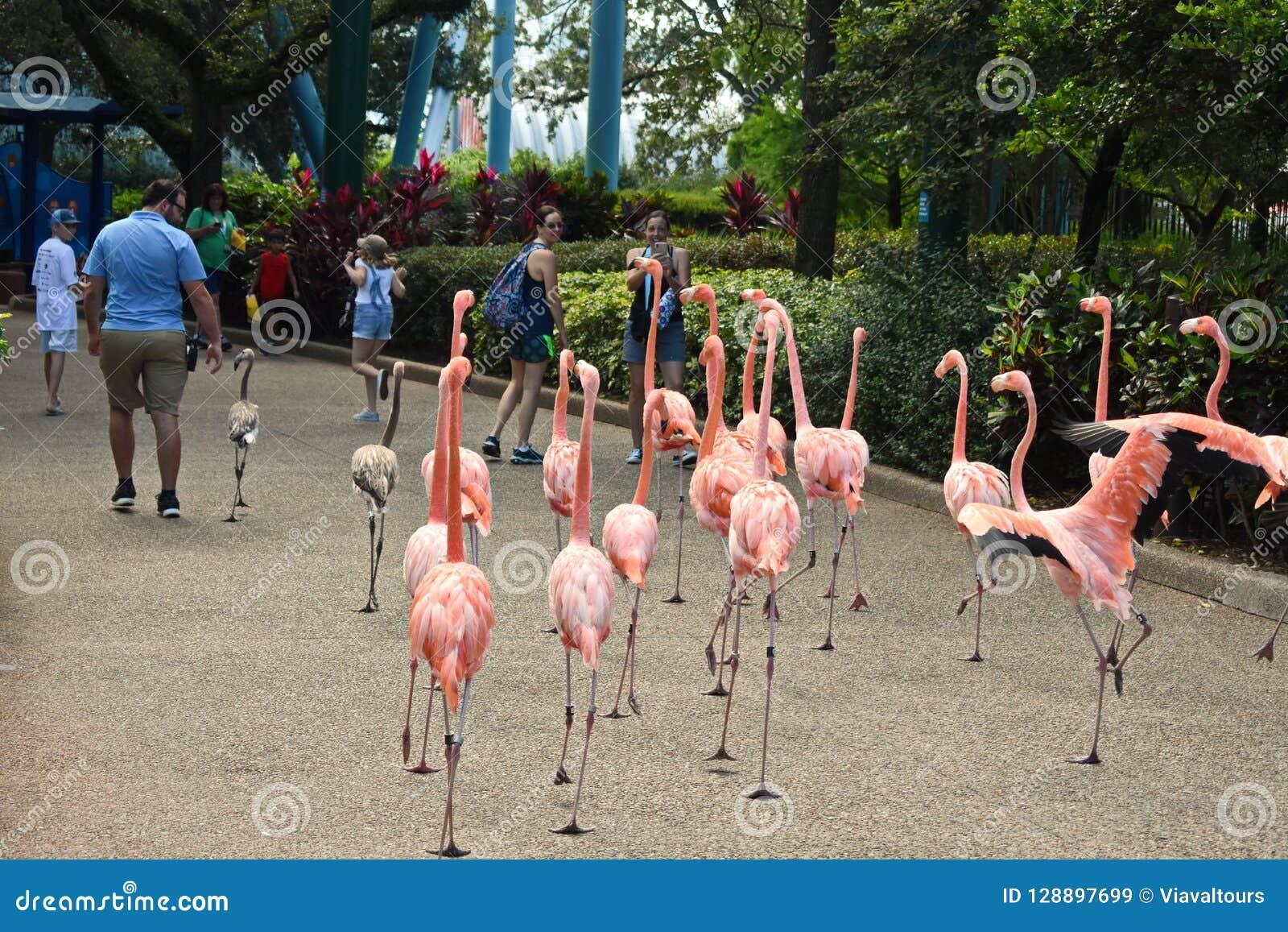 Girls taking pictures of flamingos walking among people in Seaworld Theme Park.