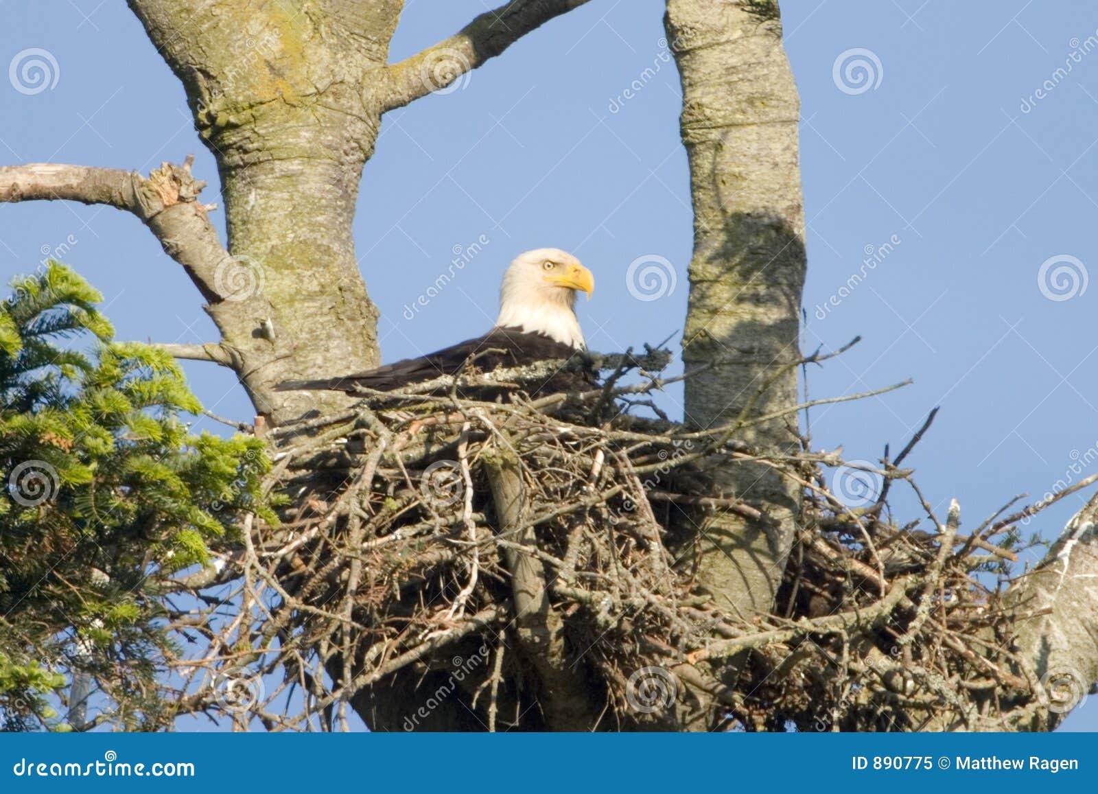 Orle gniazdo łysego amerykański