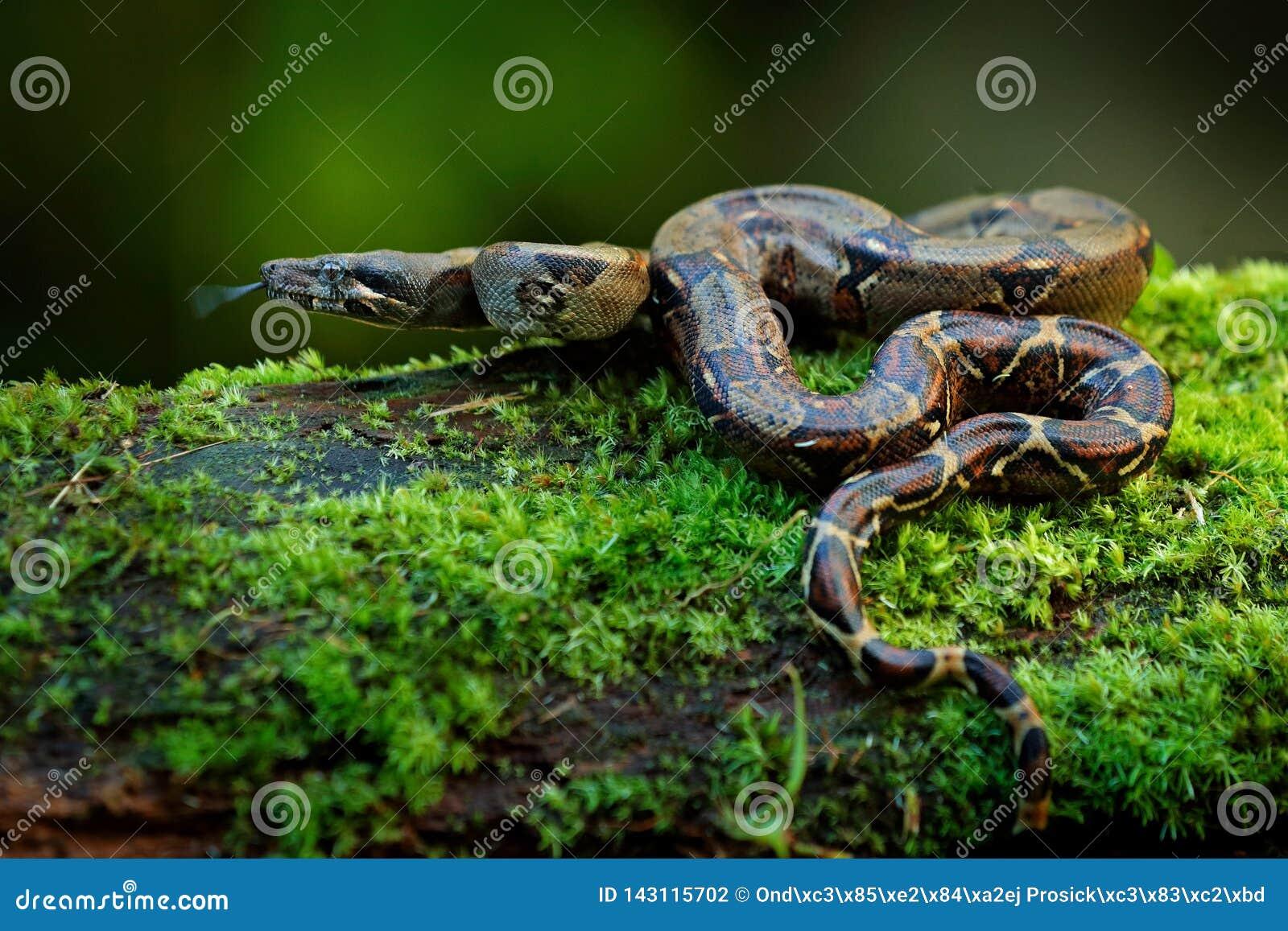 Orm för Boaconstrictor i den lösa naturen, Costa Rica Djurlivplats från Central America Lopp i den farliga vändkretsskogen