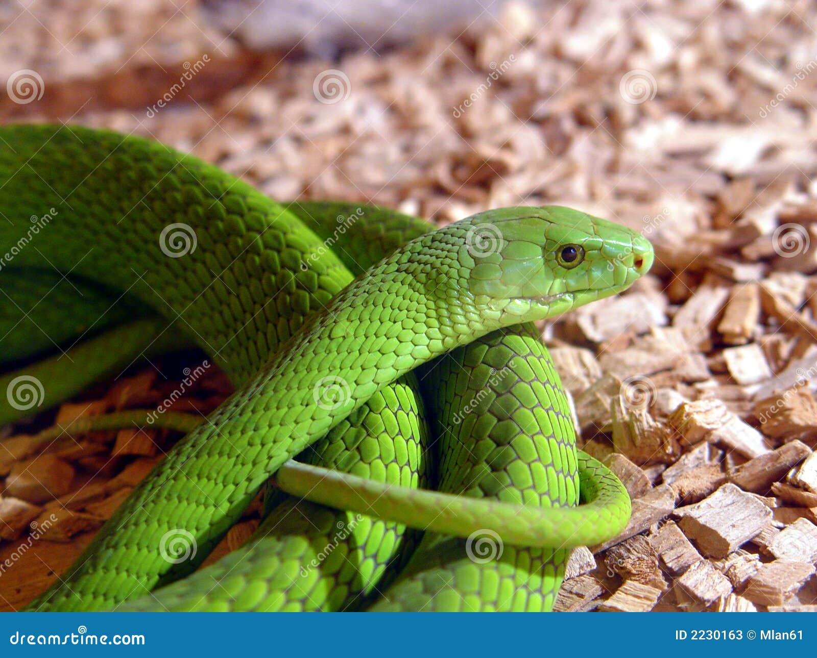 Orm för grön mamba
