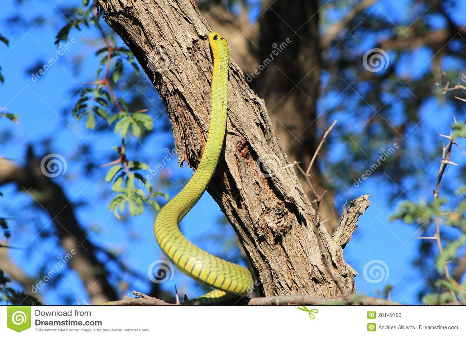 Ormar från Afrika - göra grön Treeormen