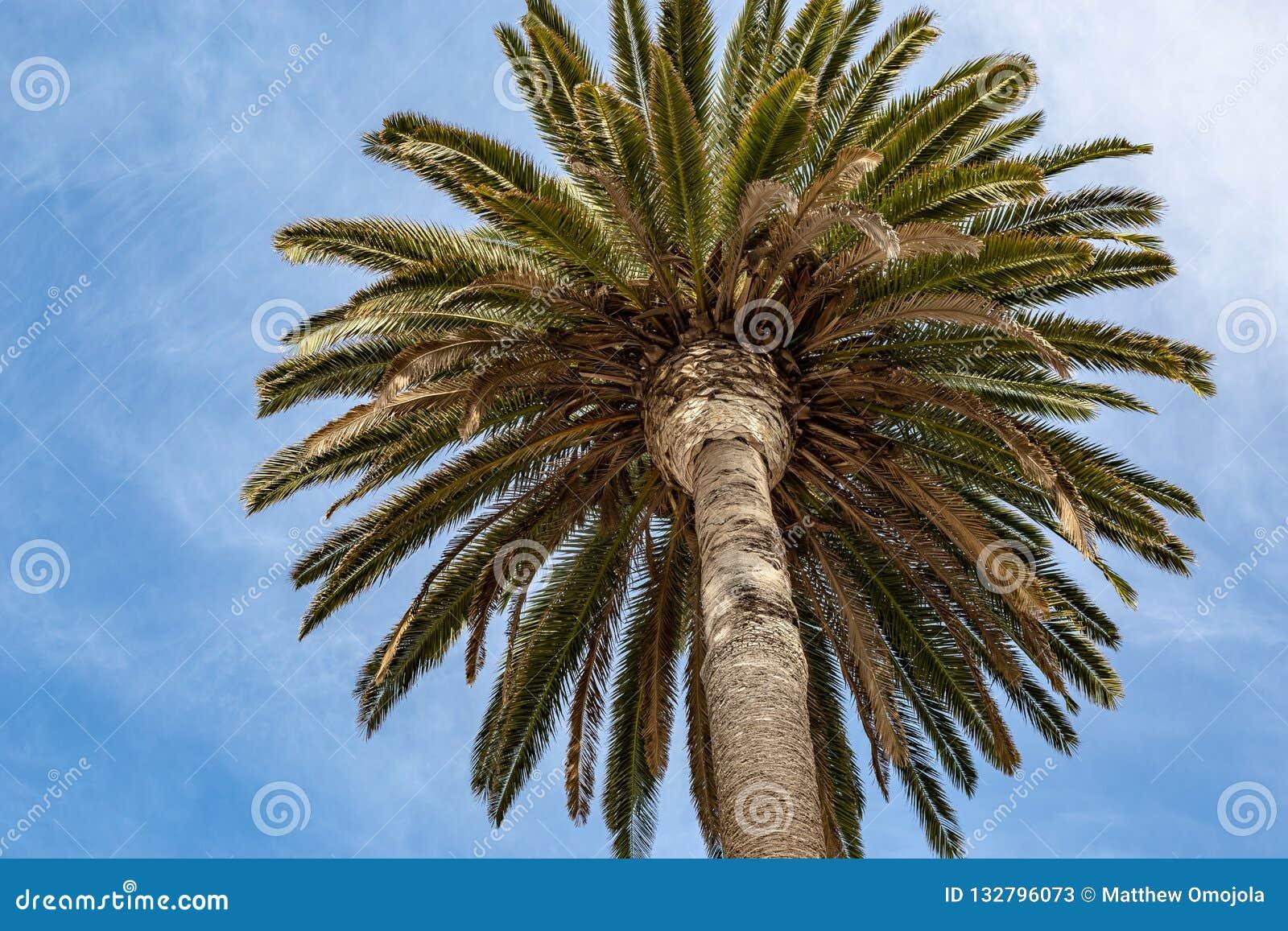 Ornamentacyjny palmowy baldachim na ulicach Los Angeles