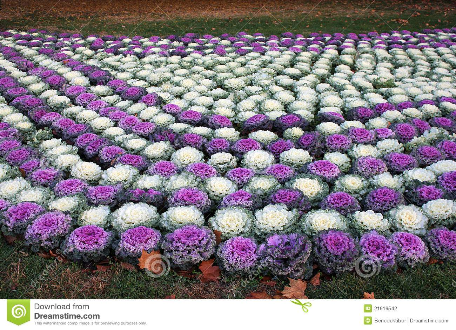 Ornamental капусты кровати