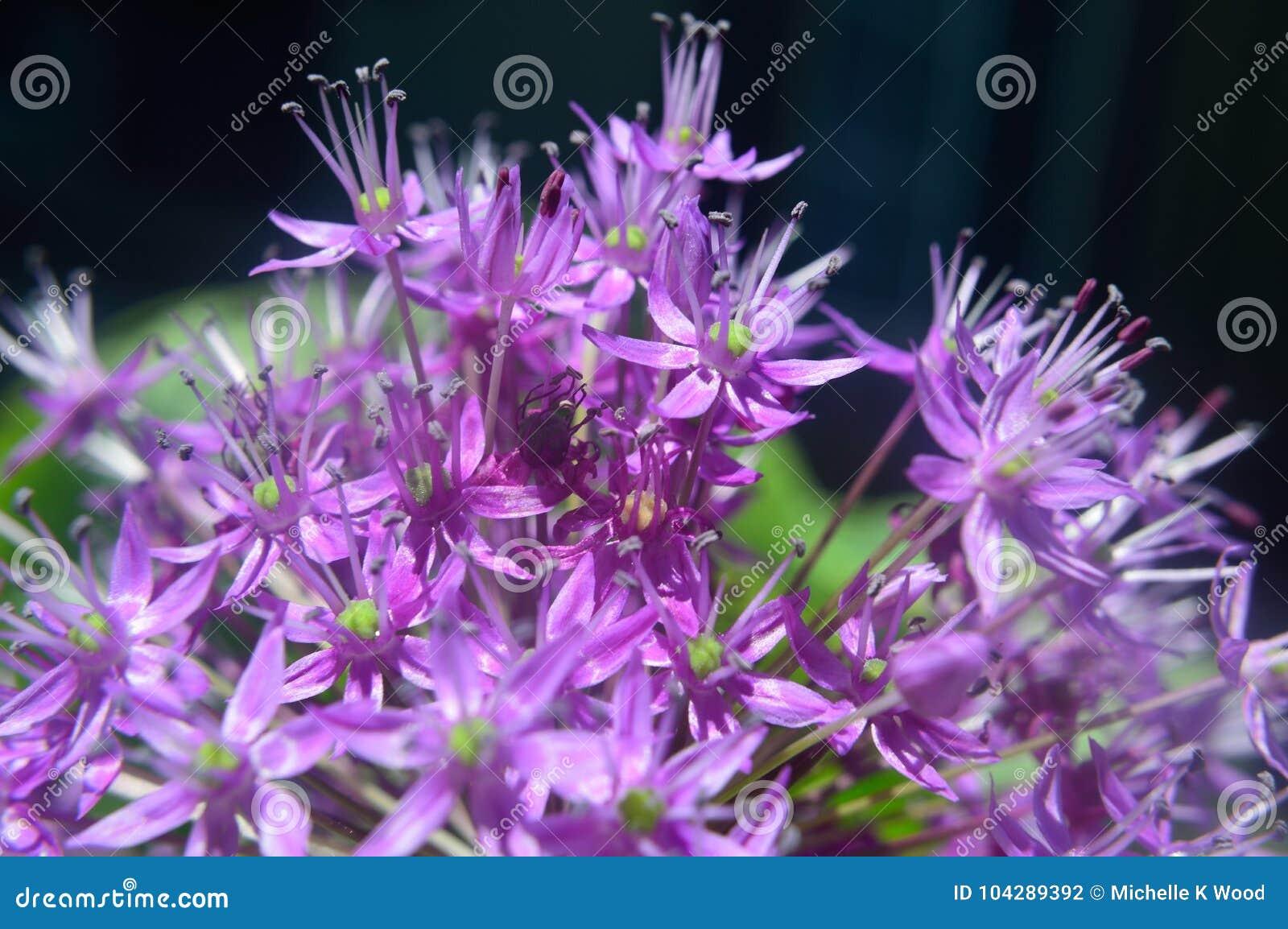 Ornamental Allium macro