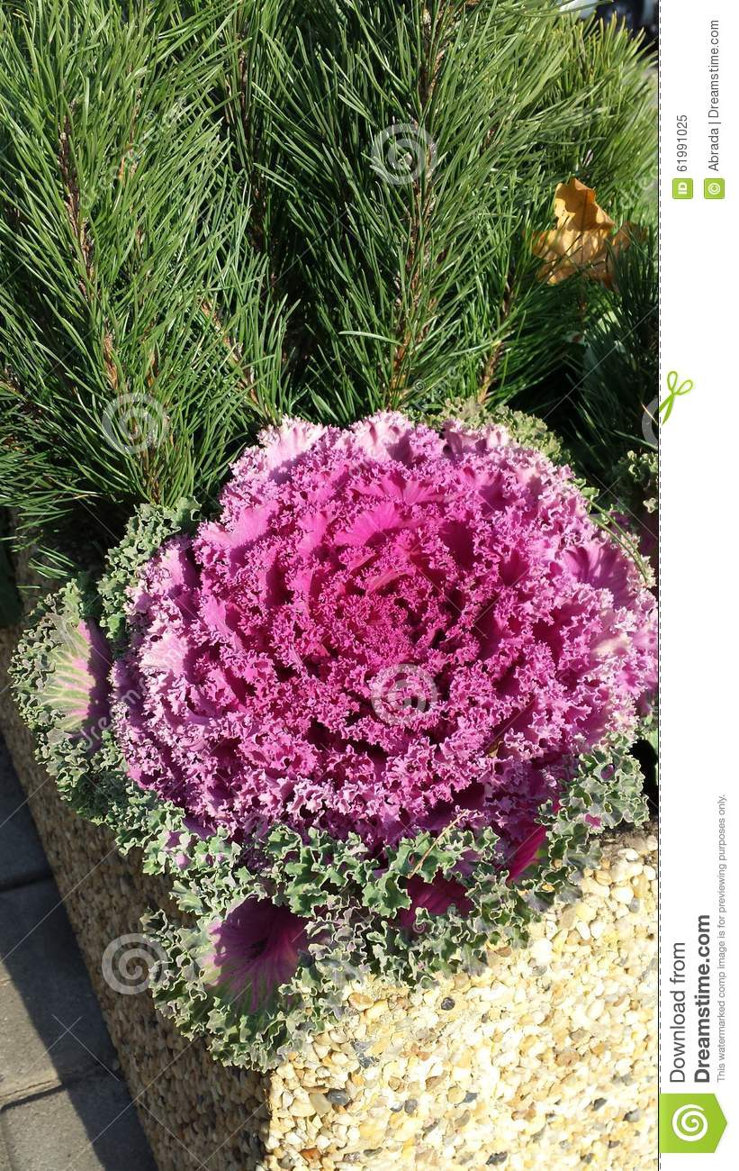 Ornamental cabbage stock photo image 61991025 for Ornamental trees for flower beds