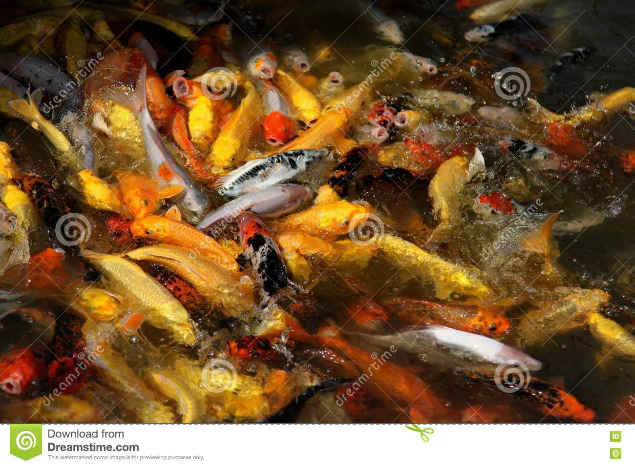 Ornamental fish royalty free stock image image 17664976 for Ornamental fish