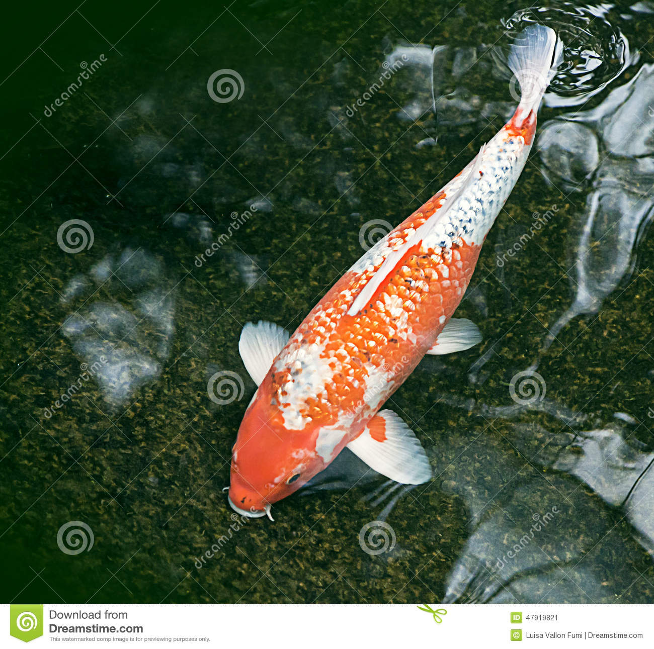 Ornamental fish in a dark green pond stock image image for Decorative pond fish