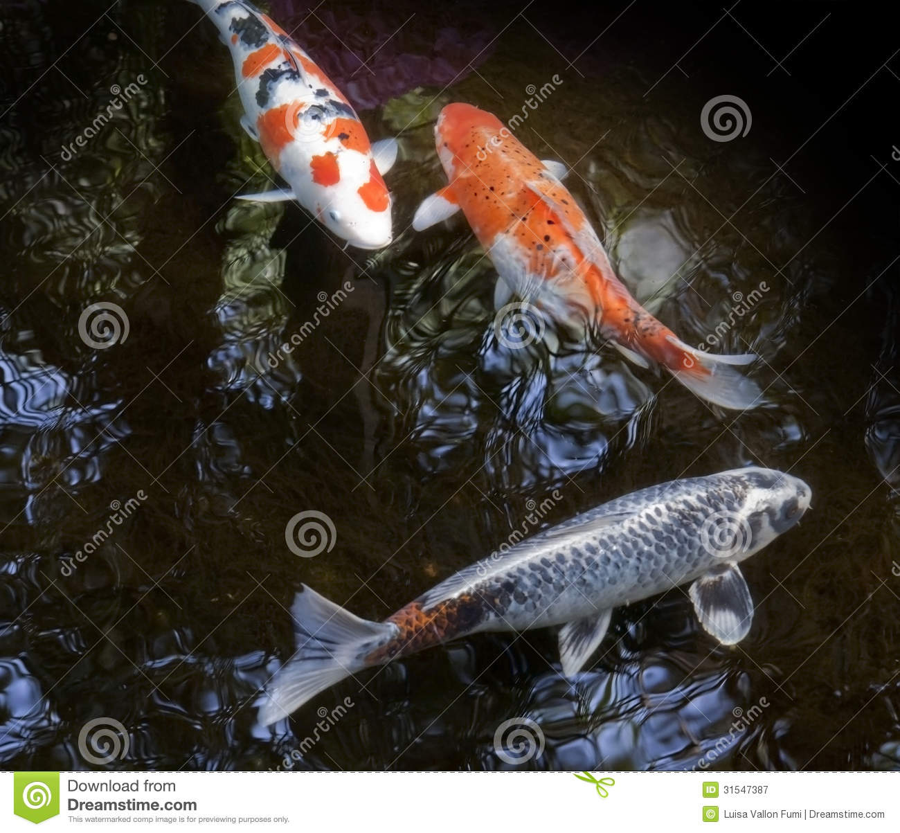 Ornamental fishes swimming in a pond royalty free stock for Ornamental fish for pond