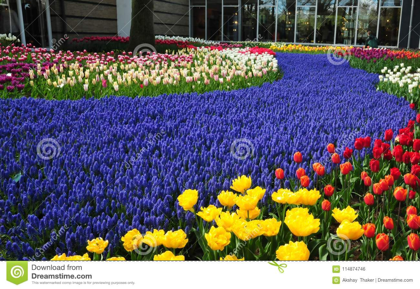 Violet Path In Keukenhof Garden The Worlds Largest Flower Gardens