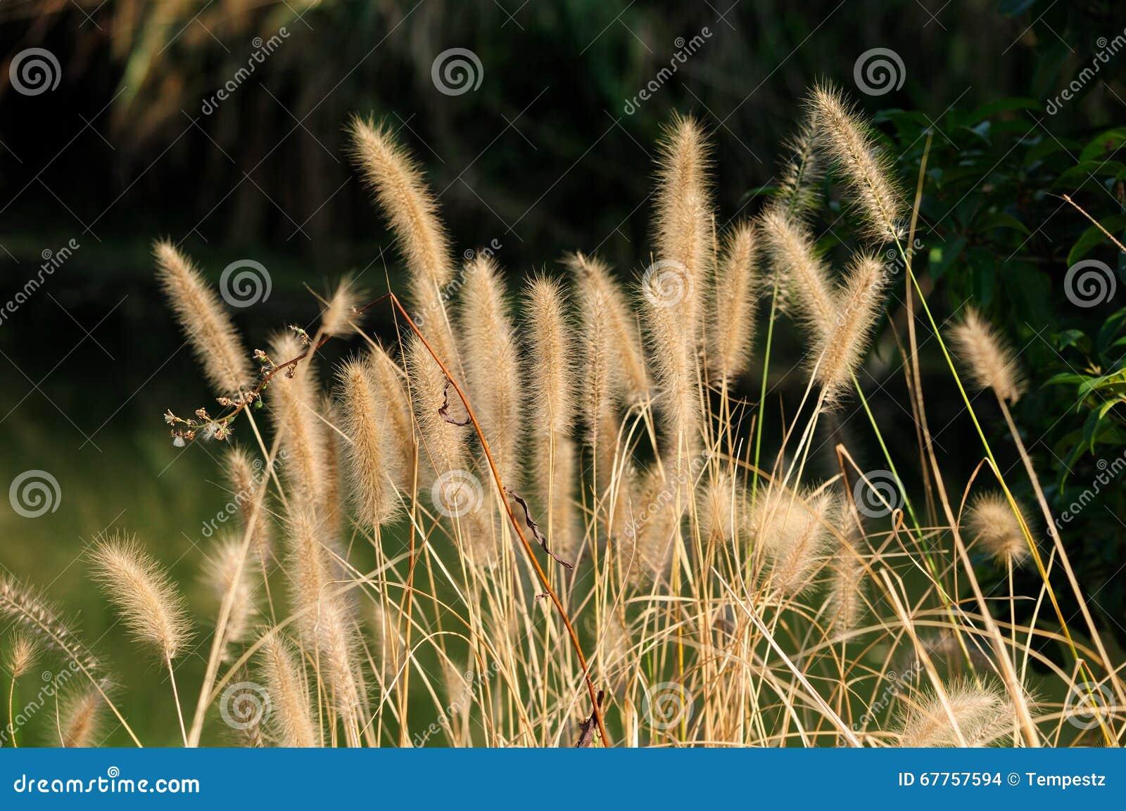 Ornamental grass stock photography for Ornamental grasses for ponds