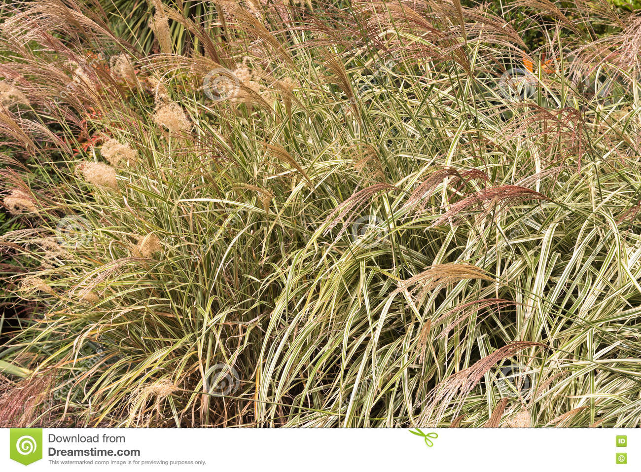 Ornamental grass miscanthus sinensis chinese silver grass grow ornamental grass miscanthus sinensis chinese silver grass grow workwithnaturefo
