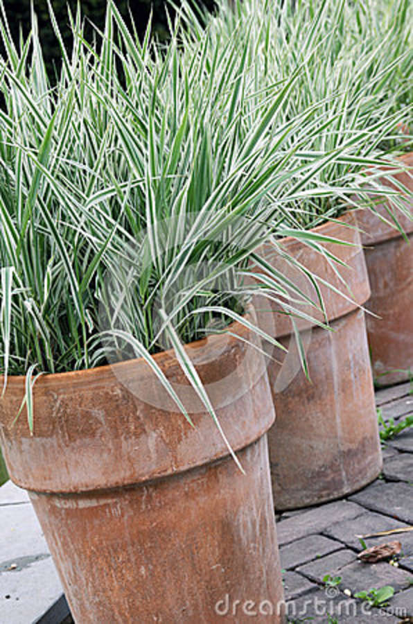 Ornamental grass perennial in to the pot royalty free for Best ornamental grasses for pots