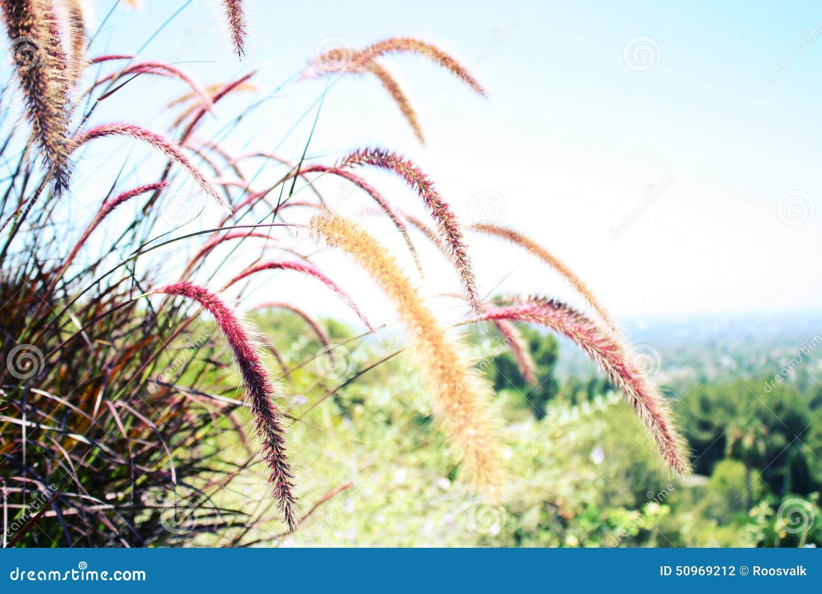 Ornamental Grasses in a Californian Garden