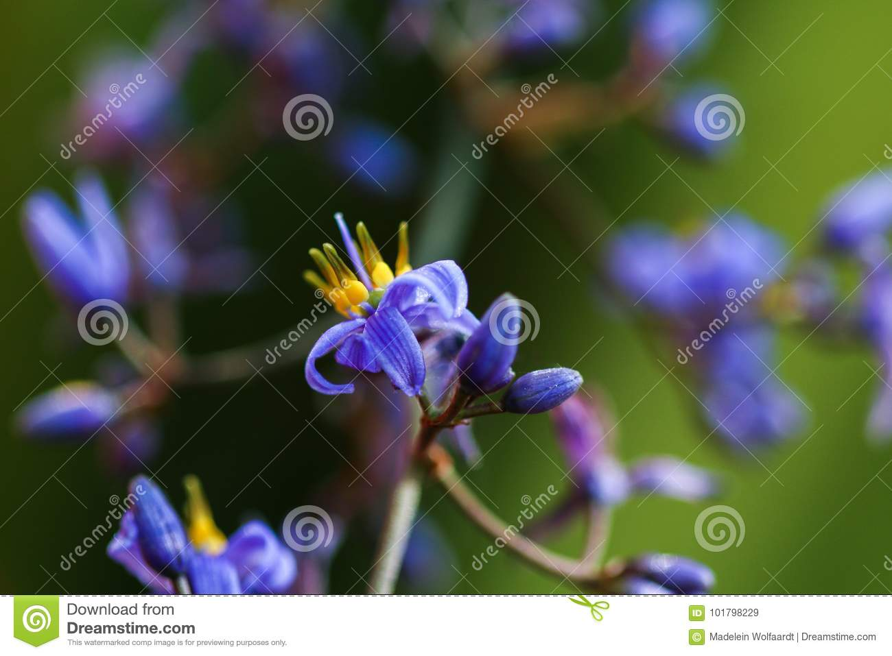 Ornamental Grassy Plant With Small Purple Flowers Stock Image
