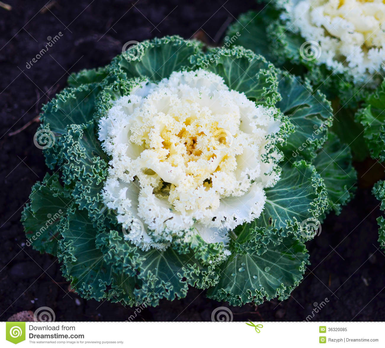 Ornamental Kale Cabbage Stock Image Image Of Flower 36320085