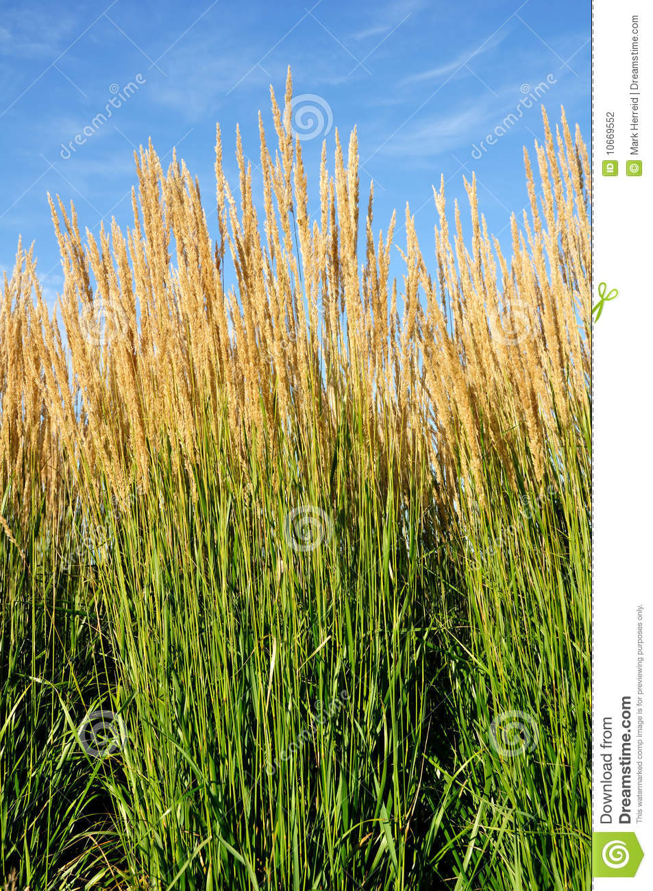 Ornamental karl foerster feather reed grass stock for Ornamental feather grass