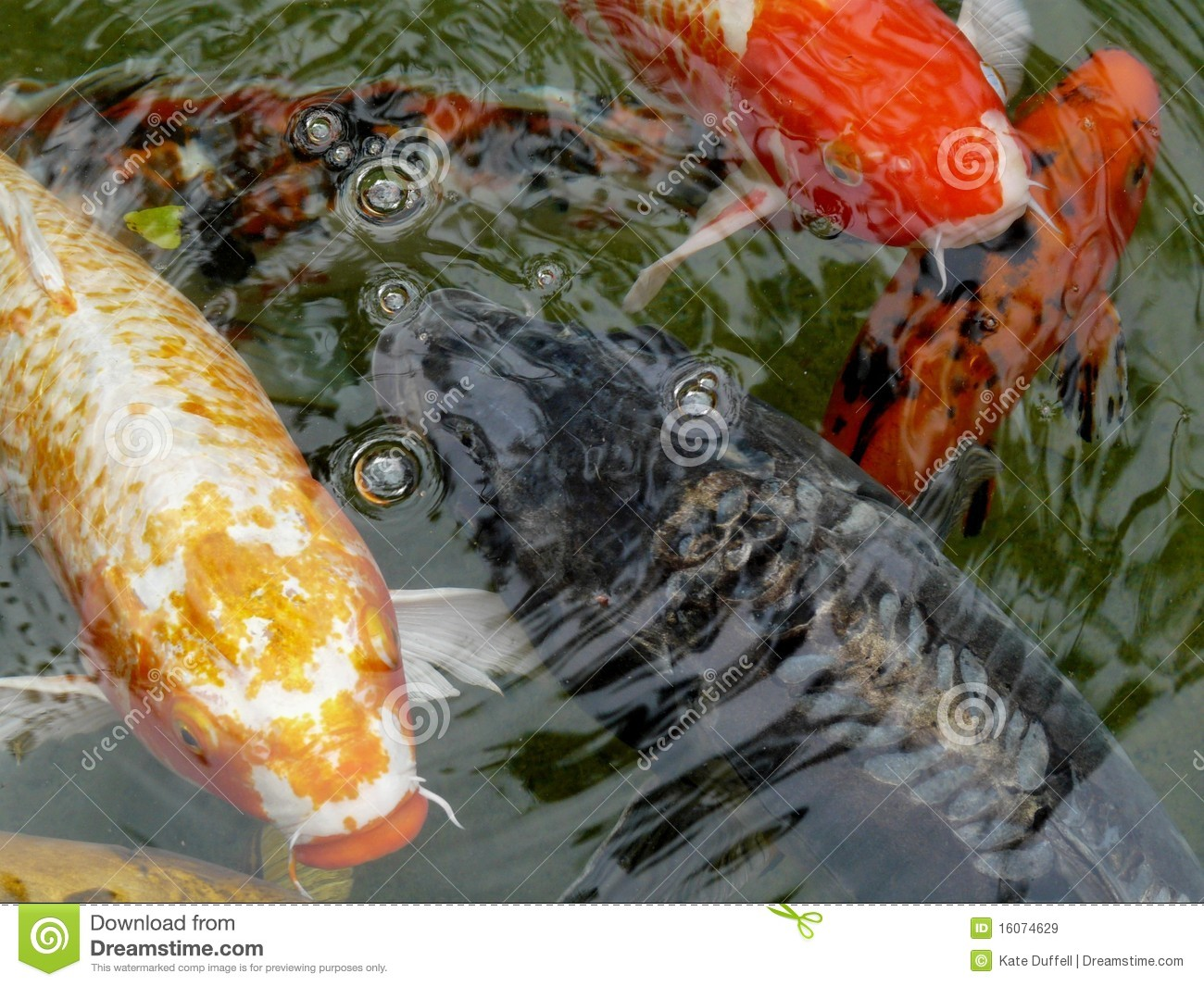 ornamental koi carp fish royalty free stock images image