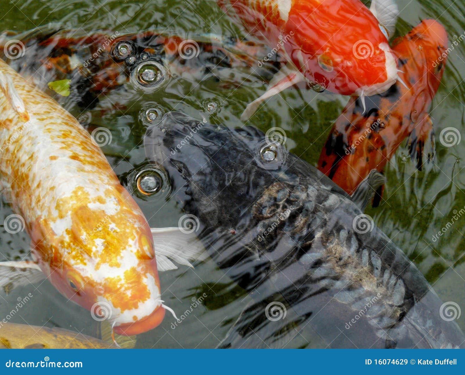 Ornamental koi carp fish royalty free stock images image for Ornamental pond fish