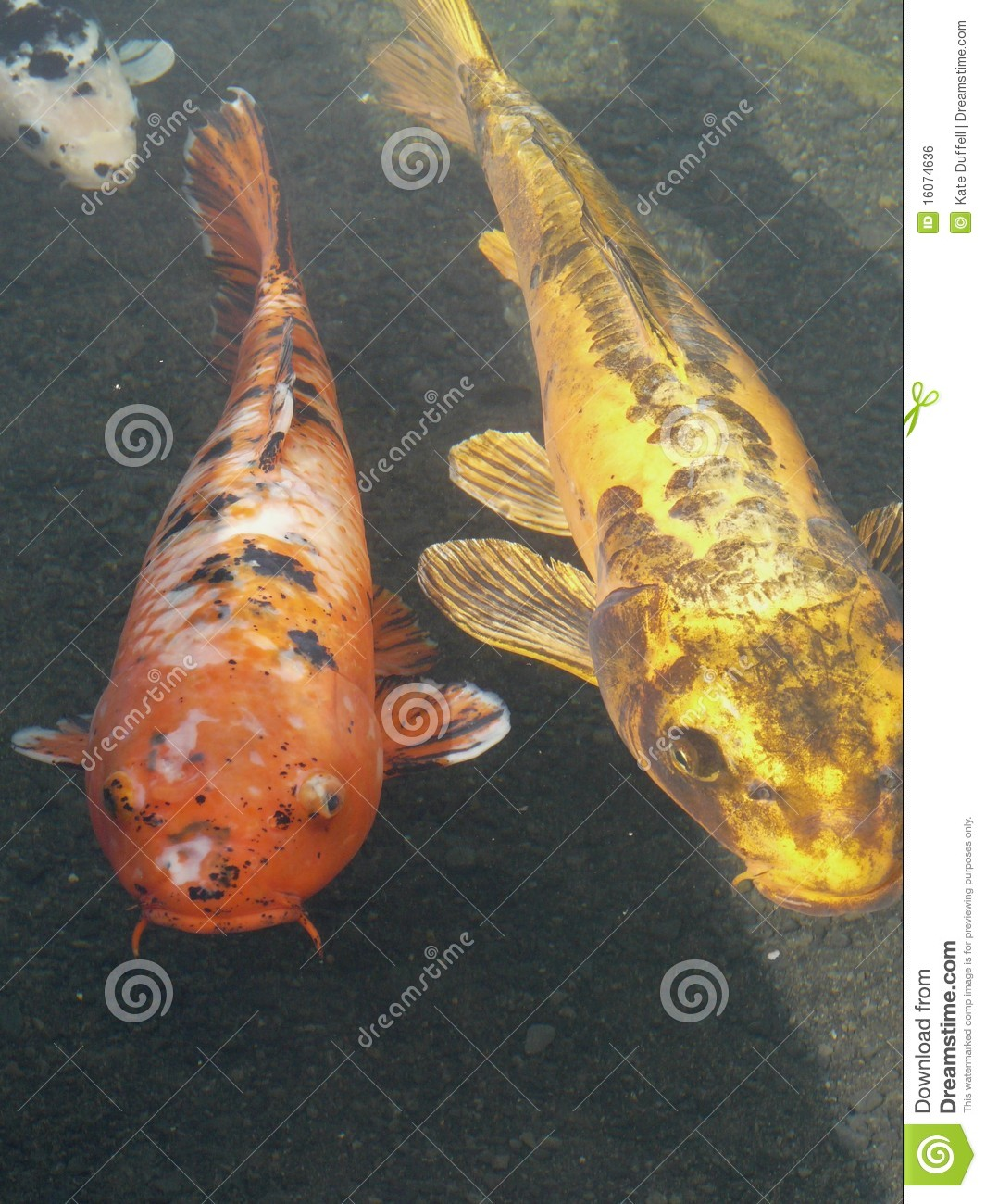 ornamental koi carp fish royalty free stock image image