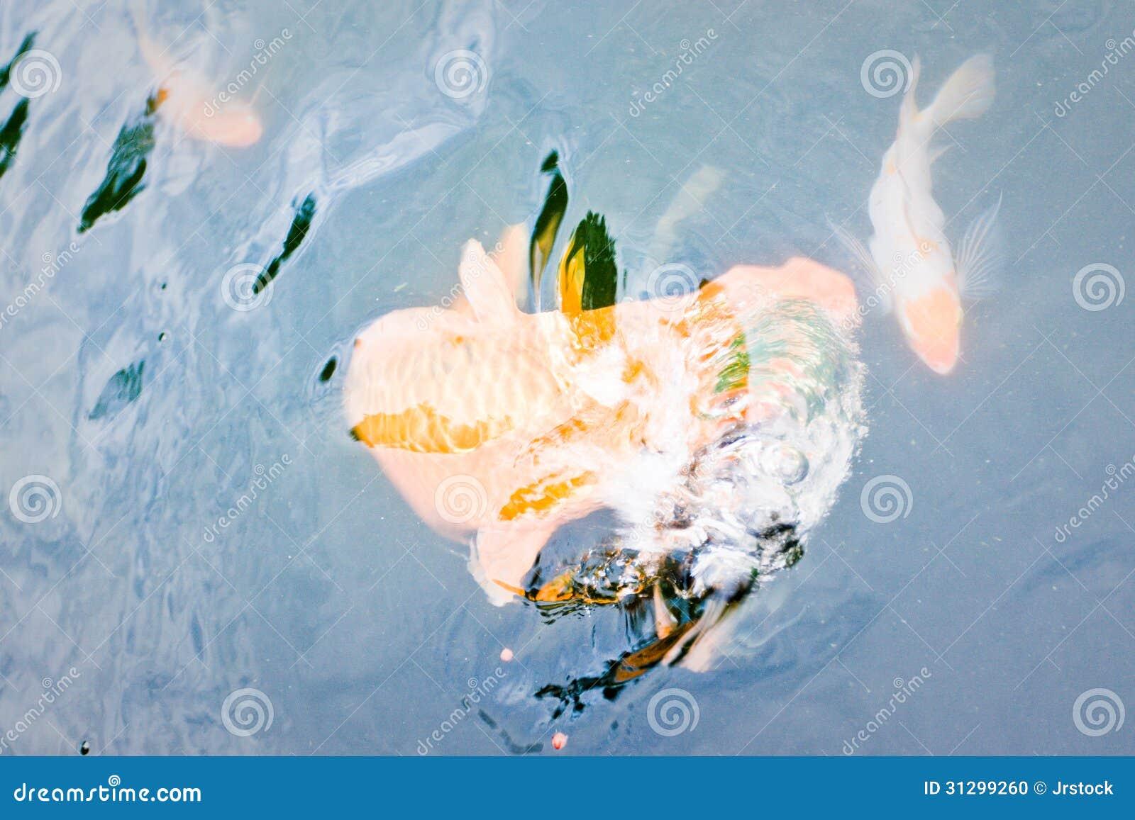 Ornamental koi fish stock photo image 31299260 for Ornamental fish garden ponds