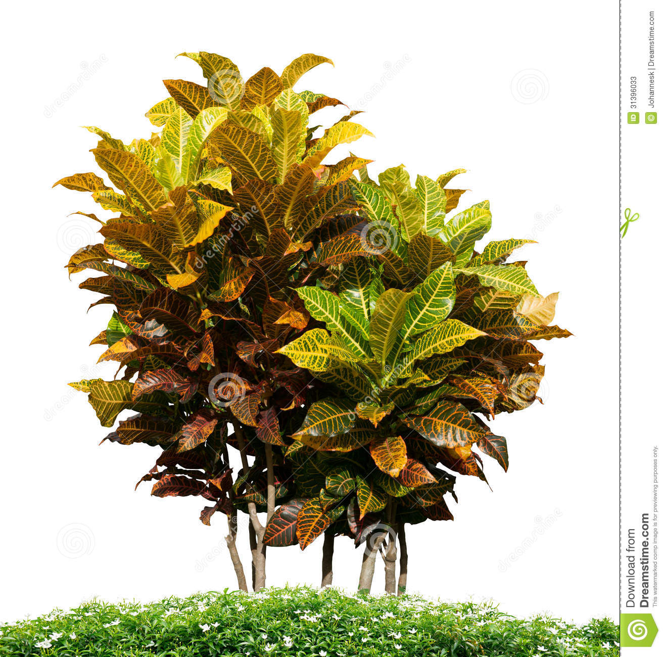 Ornamental plant stock photos image 31396033 for Ornamental garden plants