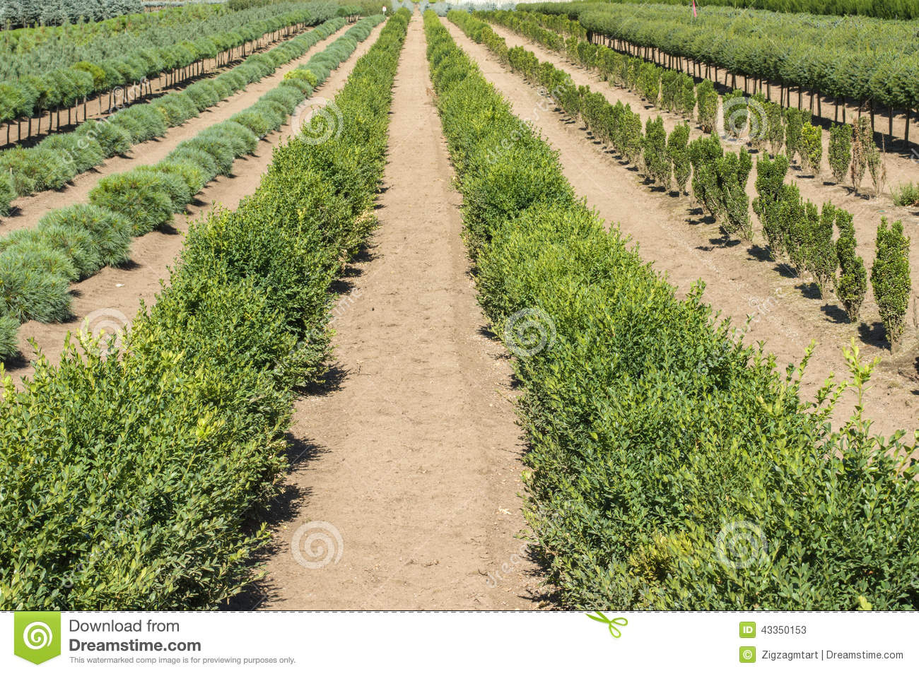 Ornamental plants in rows in a plant nursery stock image for Plant nursery
