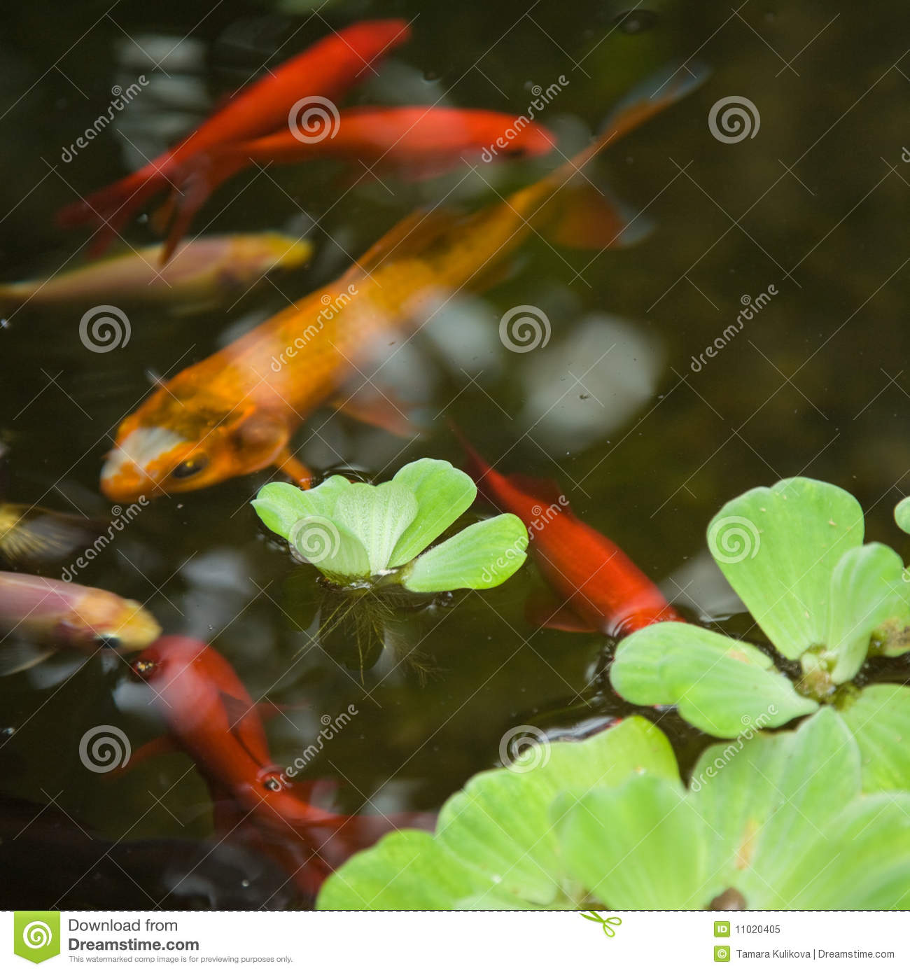 Ornamental pond royalty free stock photo image 11020405 for Ornamental pond