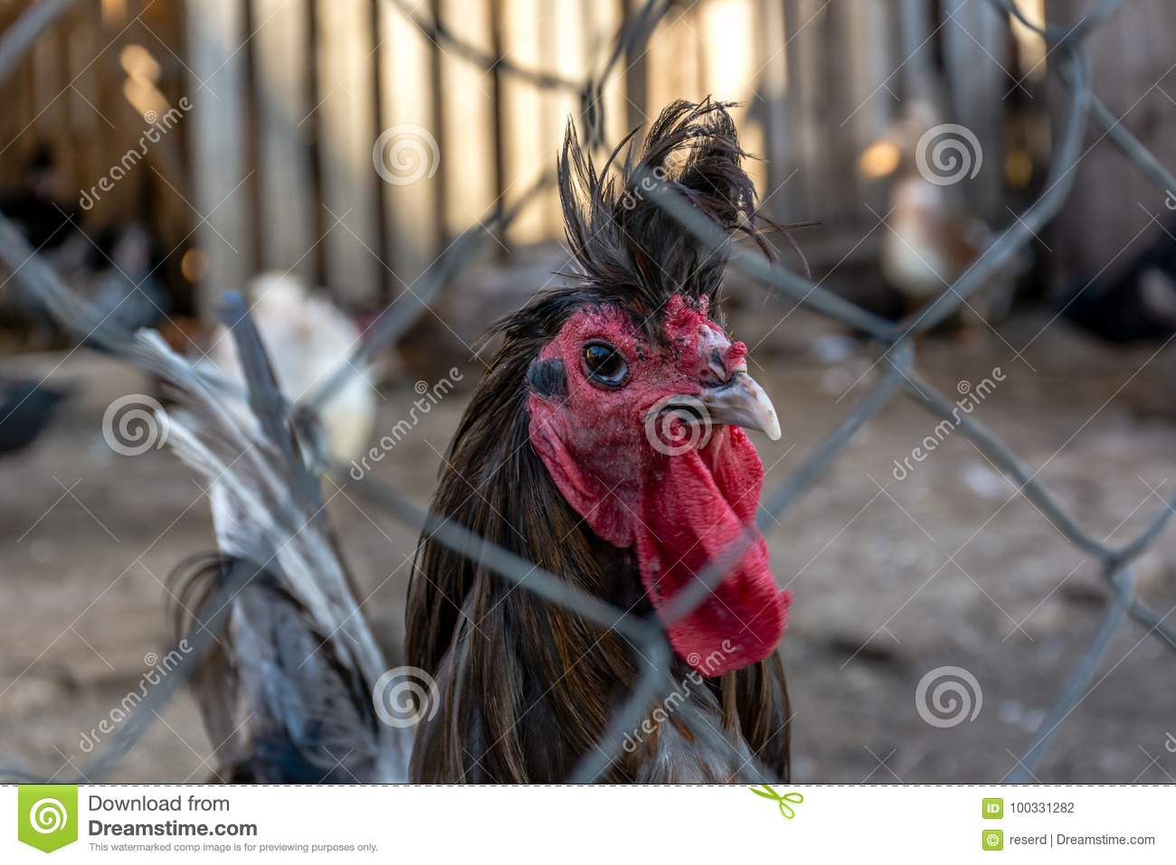 Ornamental poultry stock photo. Image of fence, agriculture - 100331282