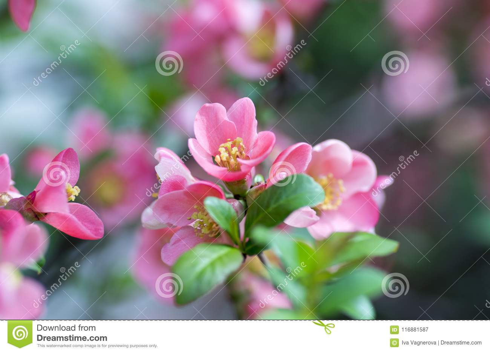 Fiore Giallo Quattro Petali.Ornamental Shrub Chaenomeles Japonica Cultivar Superba With