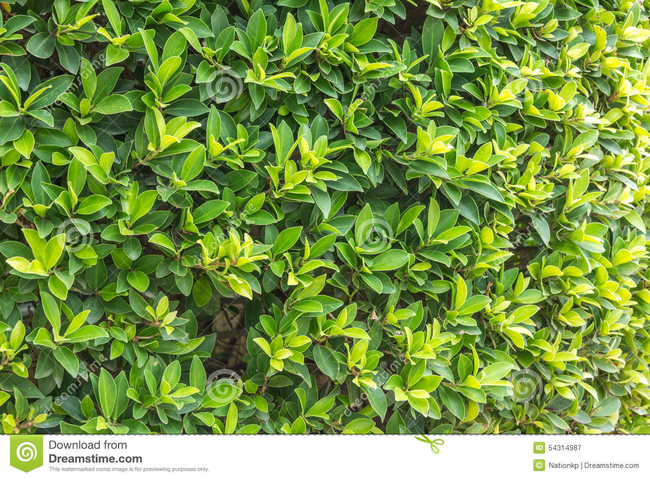 Ornamental Shrubs Wall Shrubs Stock Photo Image 54314987