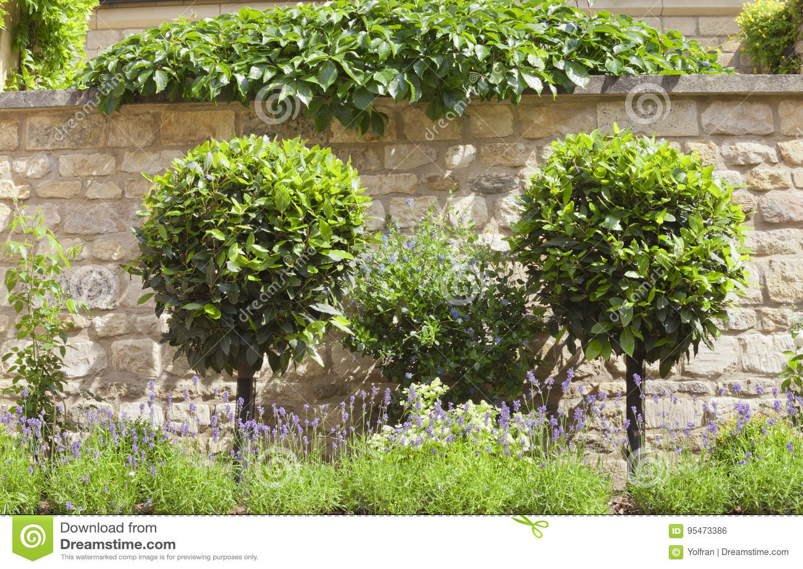 Ornamental Topiary Trees Purple Lavender In Summer Garden Stock
