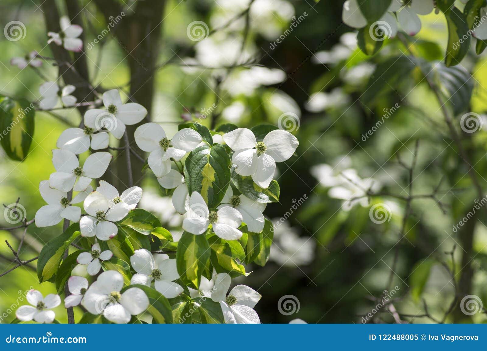 Fiori Bianchi Con Quattro Petali.Ornamentale Di Kousa Della Cornina E Bello Arbusto Di Fioritura