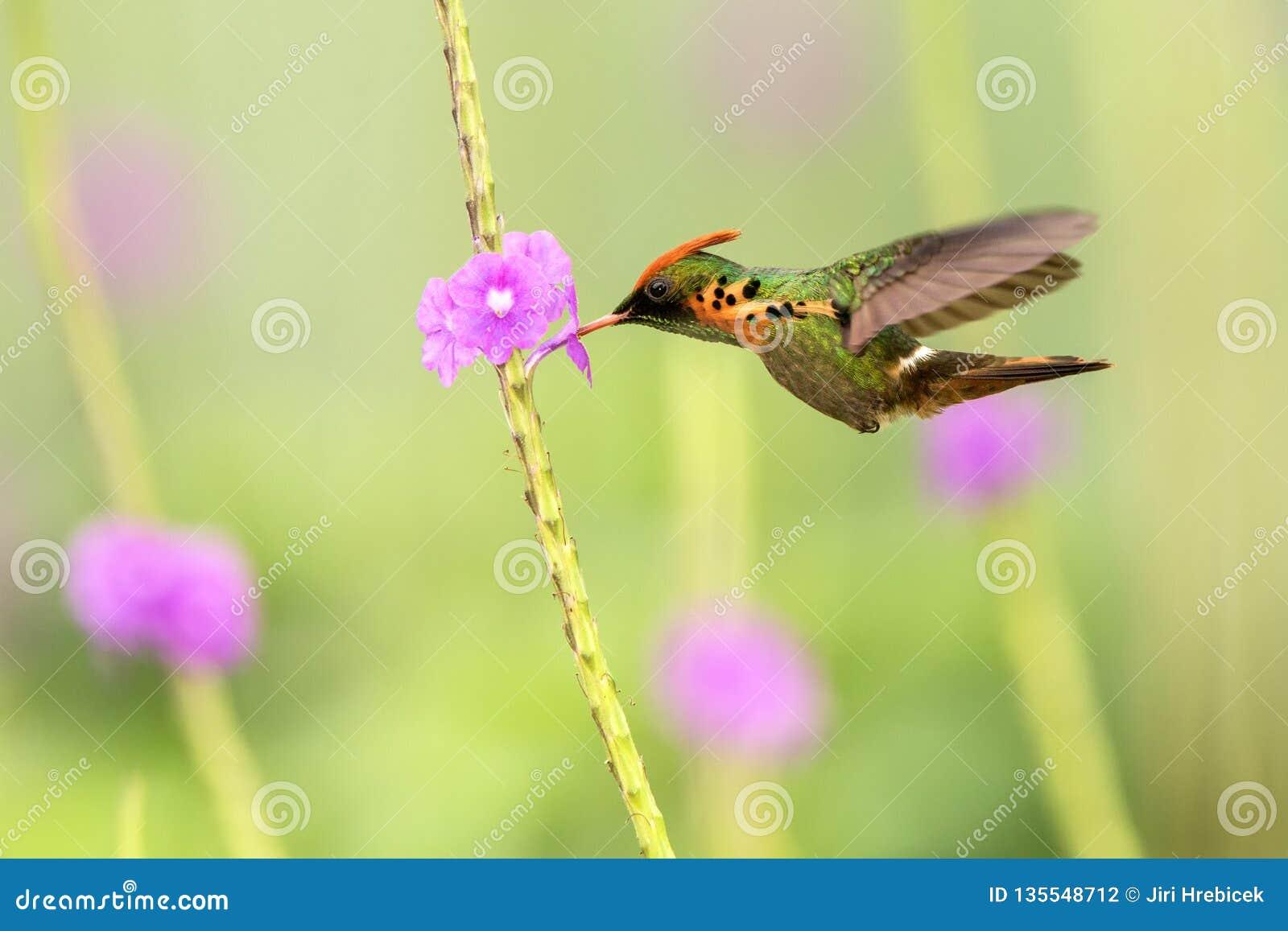Ornatus empenachado de Lophornis de la coqueta que asoma al lado de la flor violeta, pájaro en vuelo, Trinidad and Tobago caribea