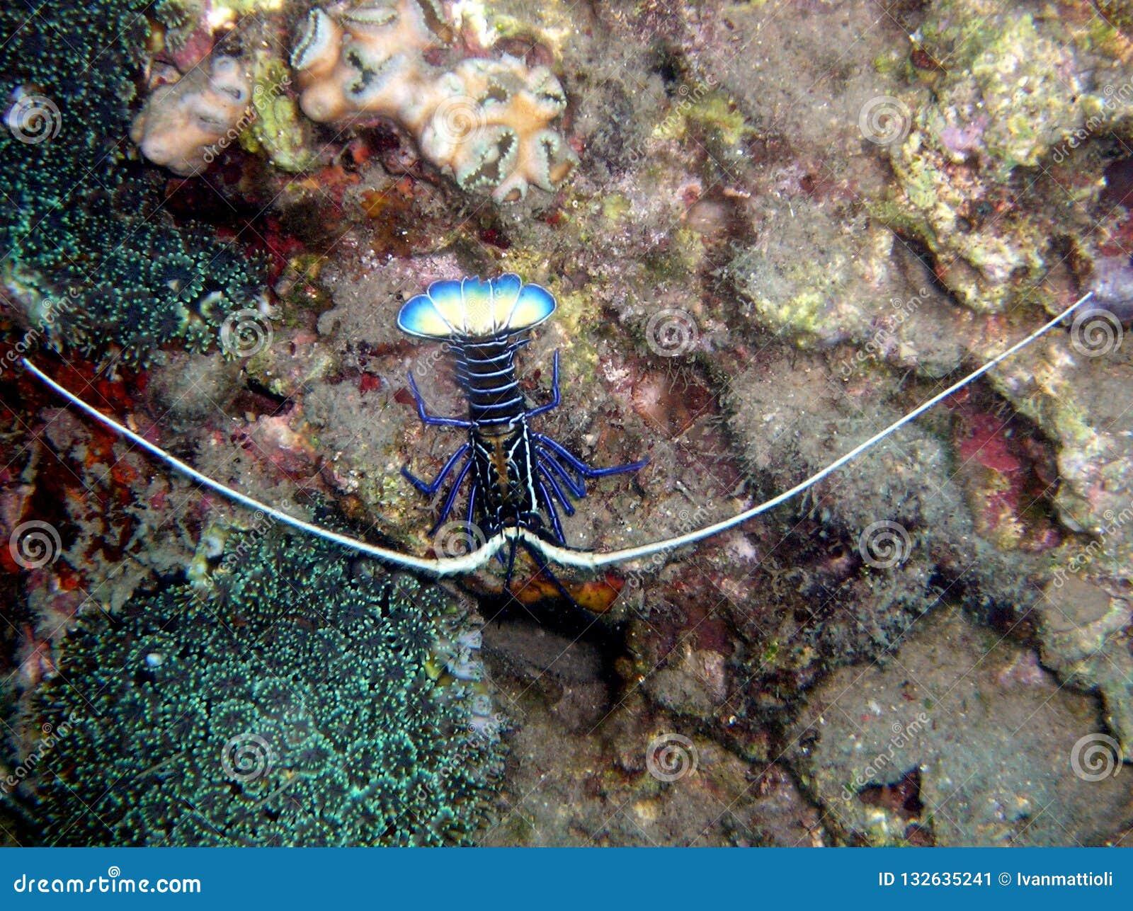 Ornatus tropical de Panulirus de homard de roche